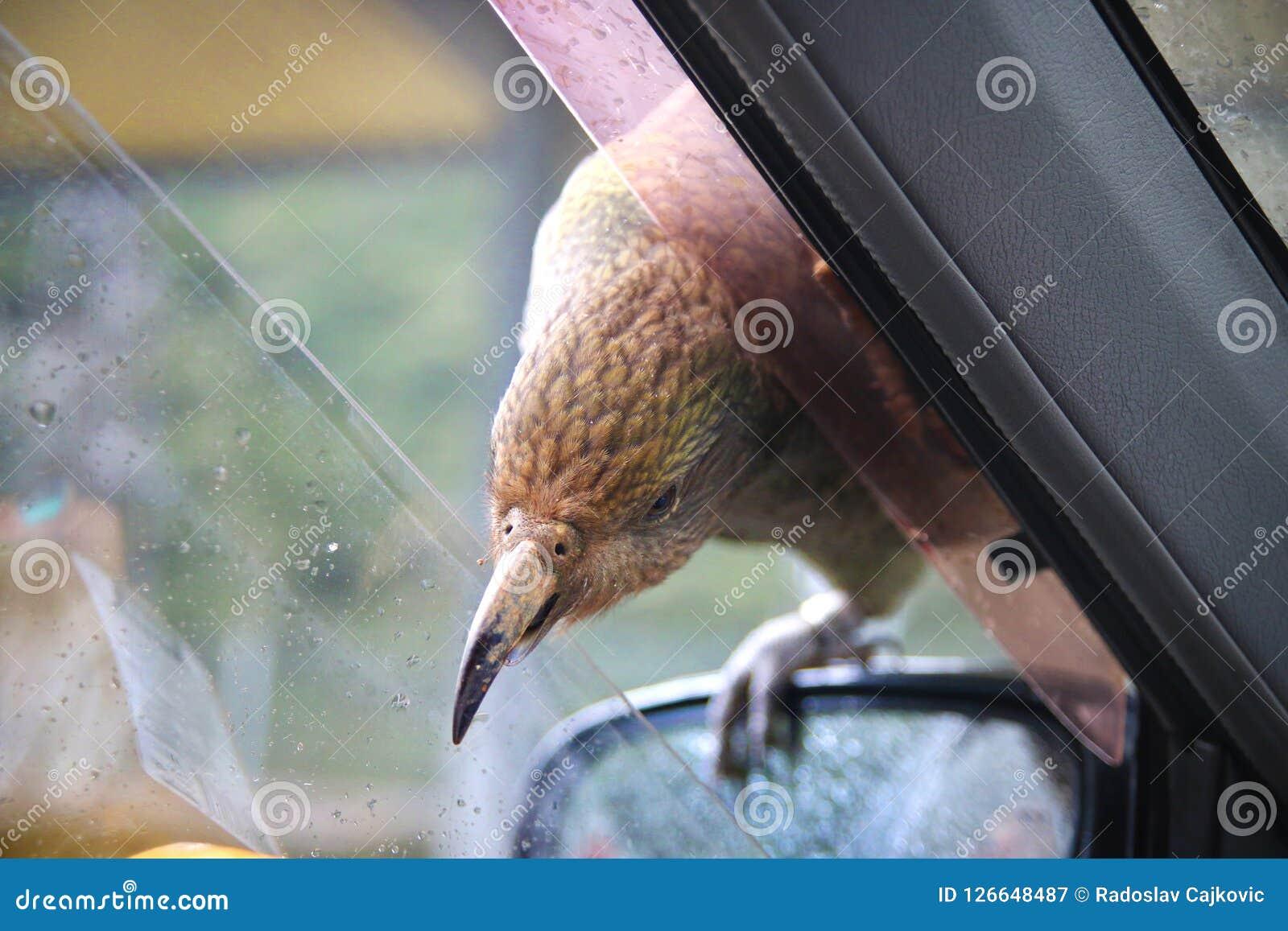 Εγγενής συνεδρίαση πουλιών της Νέας Ζηλανδίας Kea στον καθρέφτη αυτοκινήτων και προσπάθεια να σπάσει μέσα με το αιχμηρό ράμφος, χ