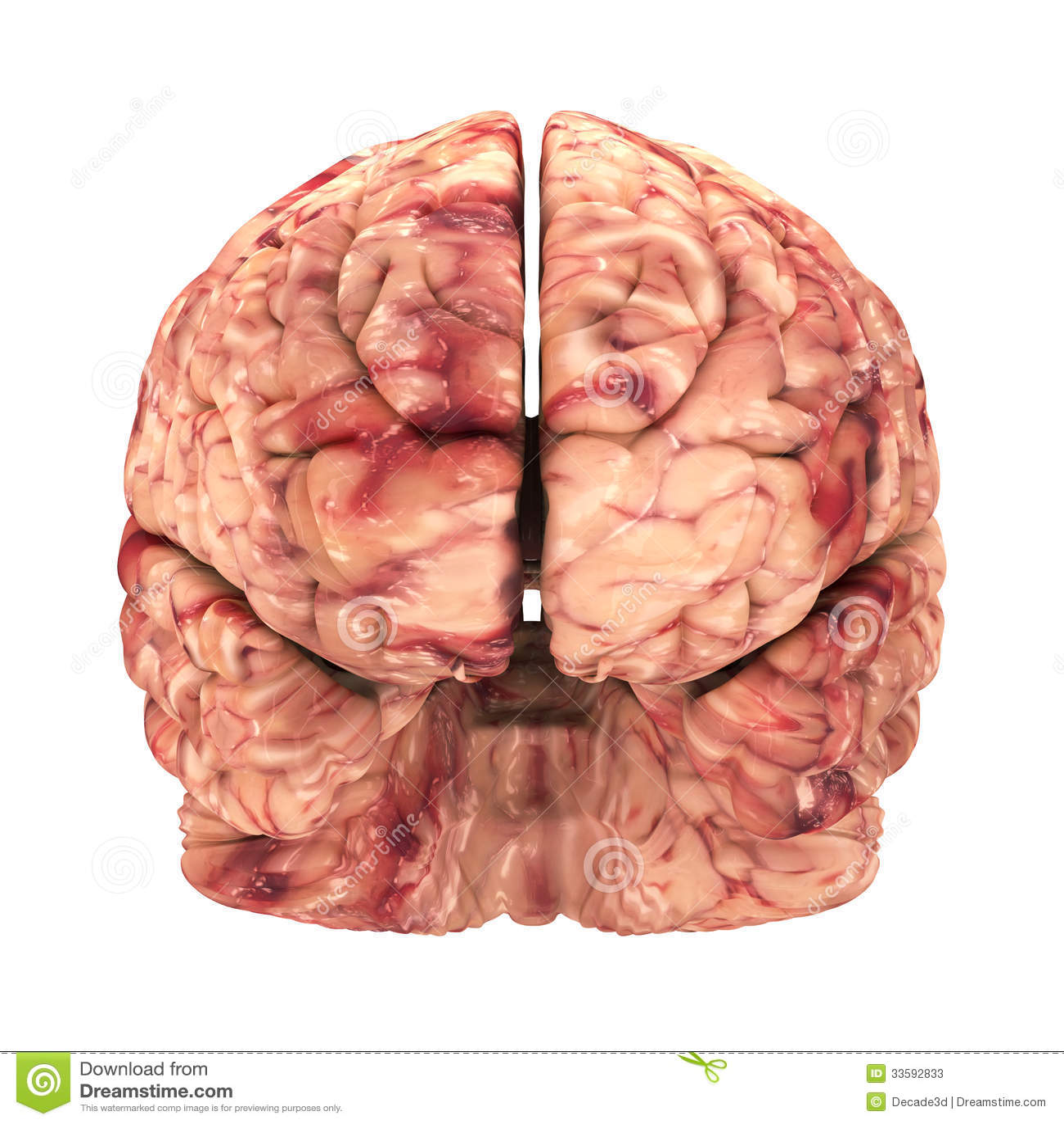 Εγκέφαλος ανατομίας - μπροστινή άποψη που απομονώνεται
