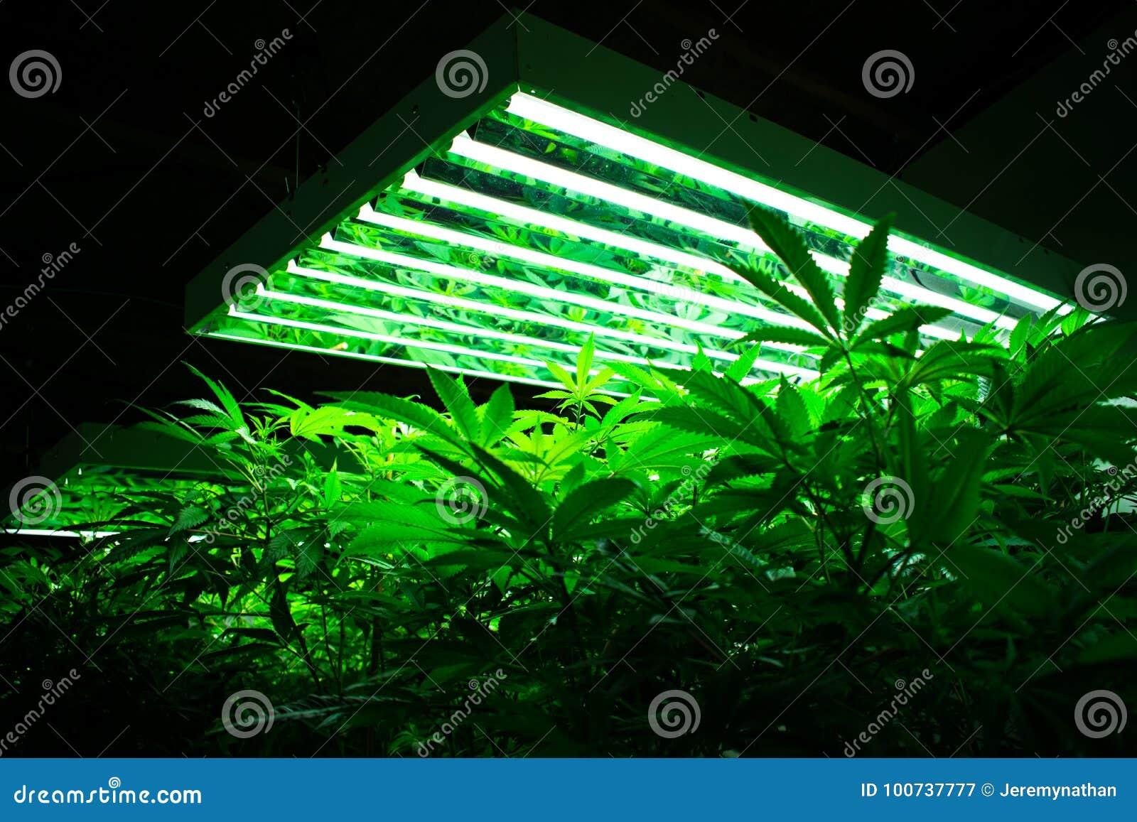 Εγκαταστάσεις μαριχουάνα στο αγρόκτημα καννάβεων