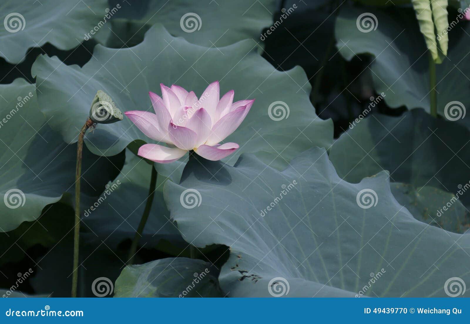 Εγκαταστάσεις λουλουδιών Lotus και λουλουδιών Lotus
