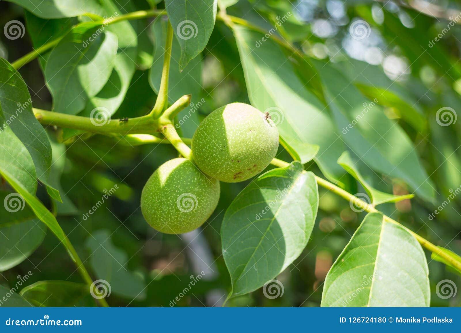 Εικόνα του unripe πράσινου ξύλου καρυδιάς στο brunch