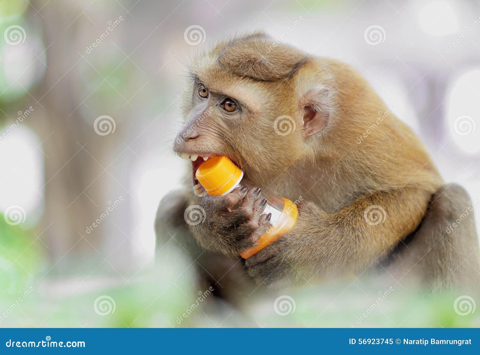 Ειλικρινής πίθηκος που προσπαθεί να ανοίξει ένα μπουκάλι