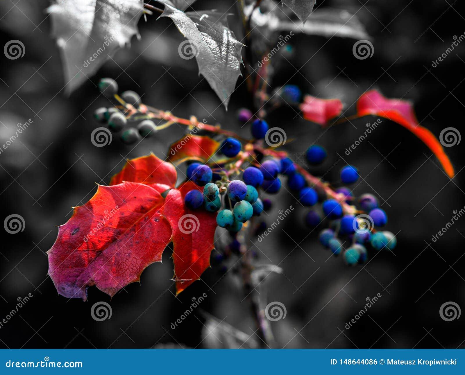 Εκλεκτική κινηματογράφηση σε πρώτο πλάνο χρώματος που βλασταίνεται των ζωηρόχρωμων μούρων