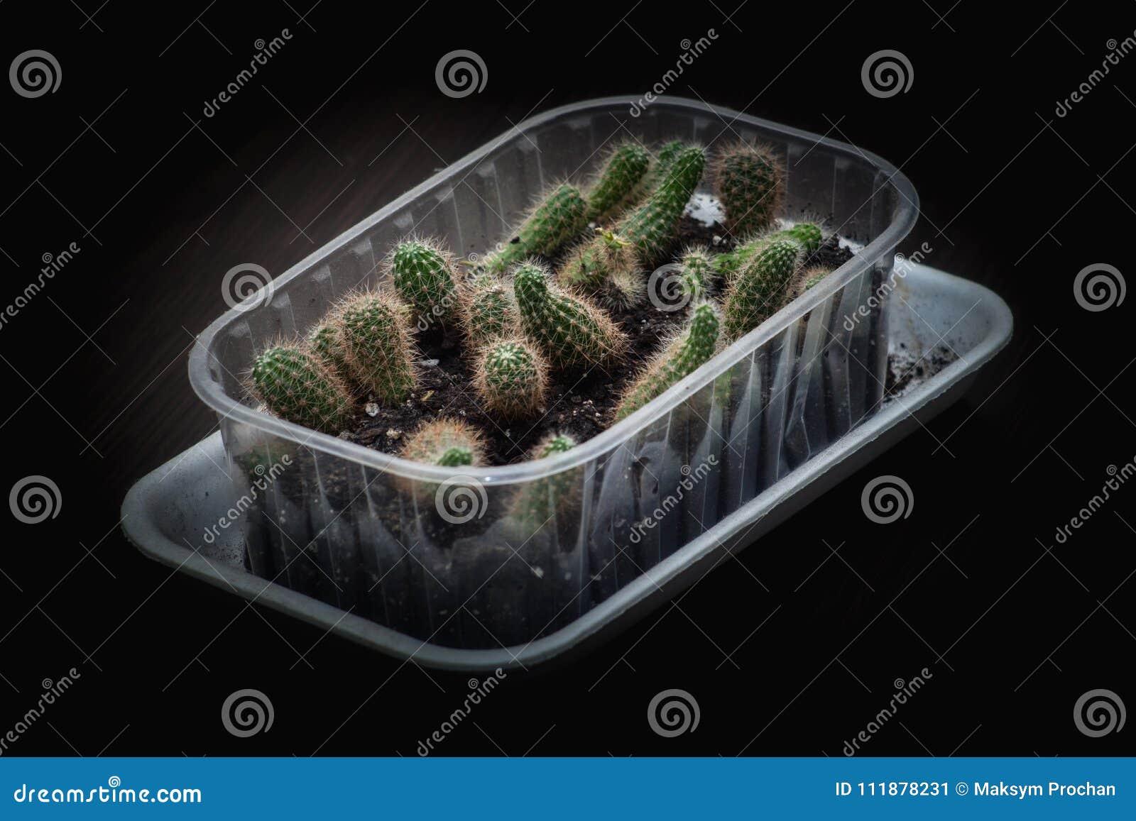 Εκλεκτική τοπ-άποψη κινηματογραφήσεων σε πρώτο πλάνο εστίασης που βλασταίνεται στη χρυσή συστάδα grusonii Echinocactus κάκτων βαρ