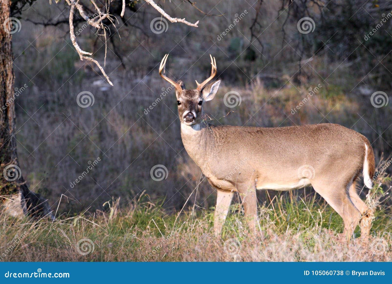Ελάφια Buck Whitetail στη χώρα Hill του Τέξας