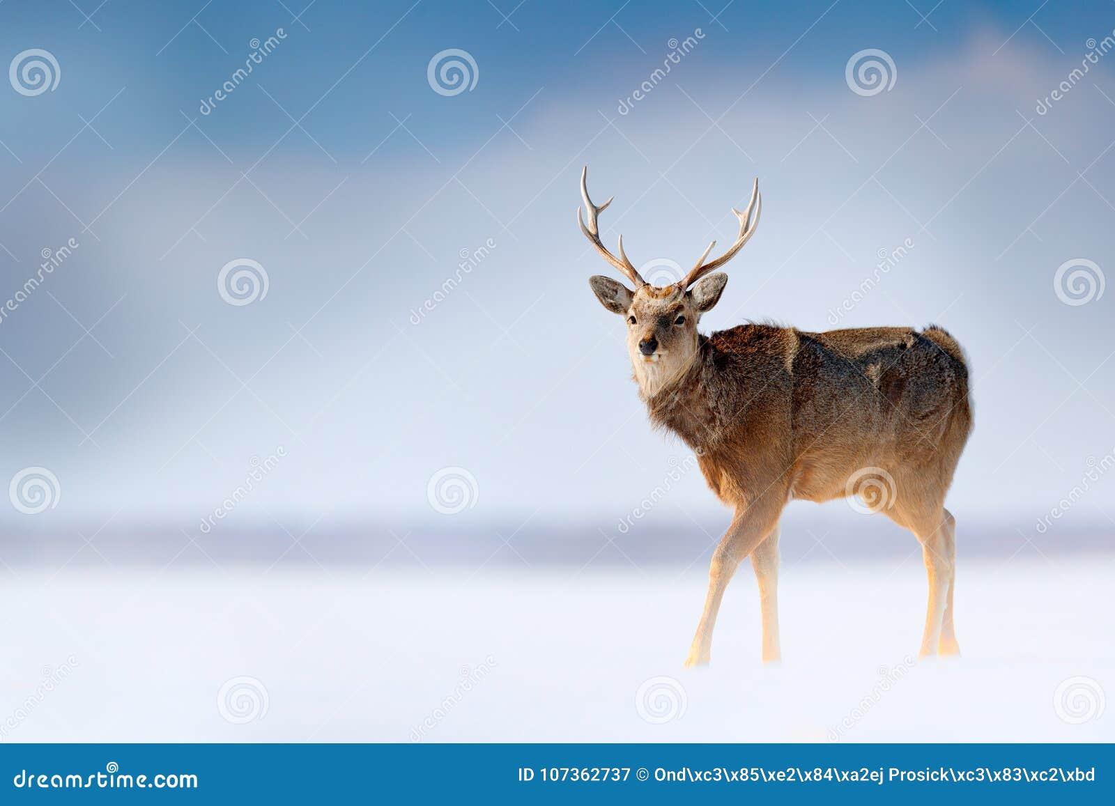 Ελάφια sika του Hokkaido, nippon yesoensis Cervus, στο λιβάδι χιονιού, τα χειμερινά βουνά και το δάσος στο υπόβαθρο, ζώο με το ελ