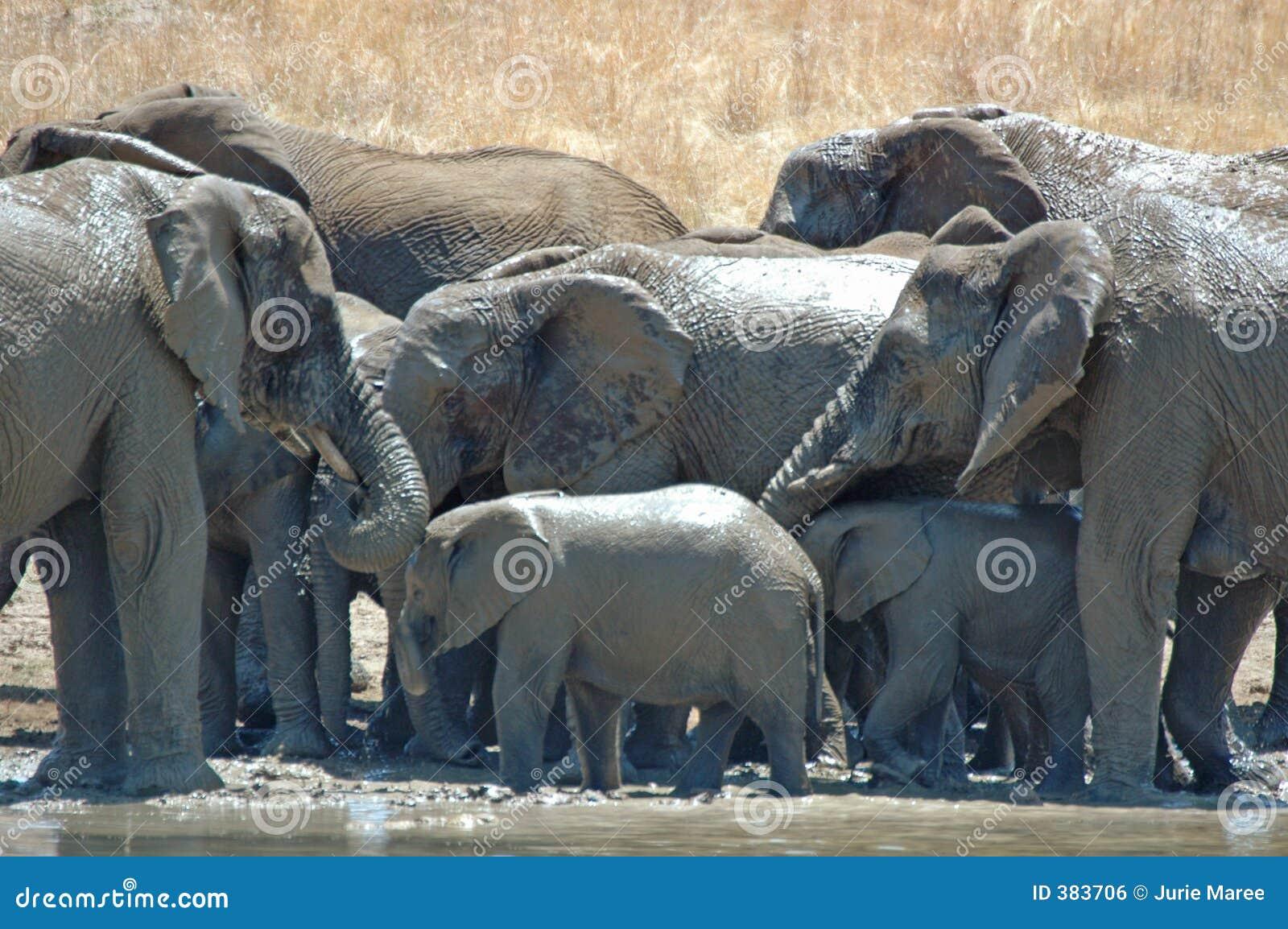 ελέφαντες λουσίματος