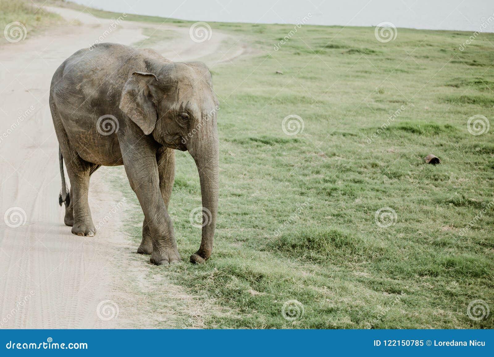Ελέφαντες σε ένα εθνικό πάρκο από τη Σρι Λάνκα