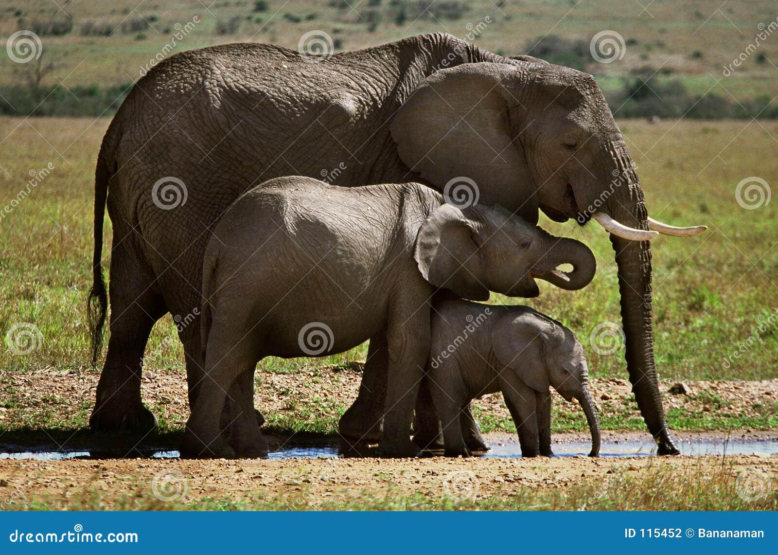 ελέφαντες τρία