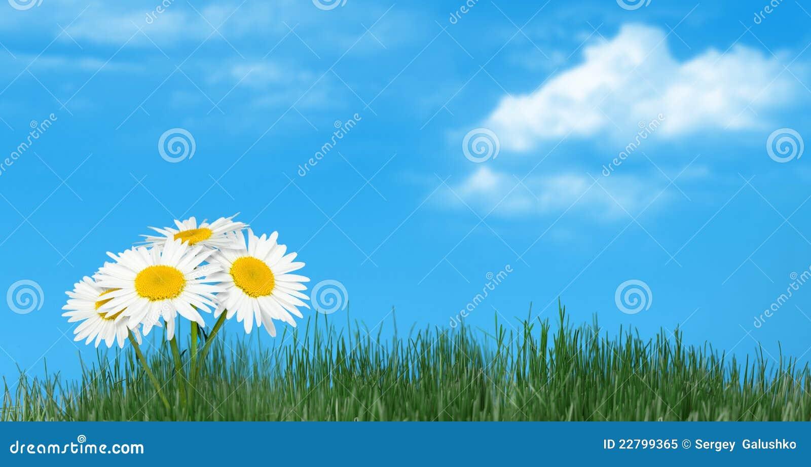 ενάντια στο φυσικό ουρανό χλόης camomiles