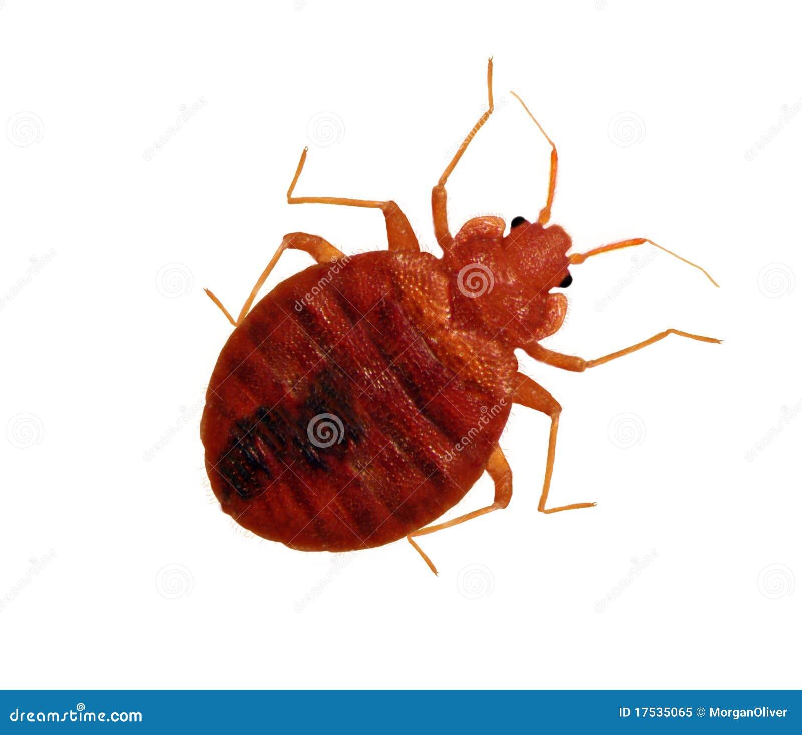 ενήλικη bedbug ζωντανή μακροεν&t
