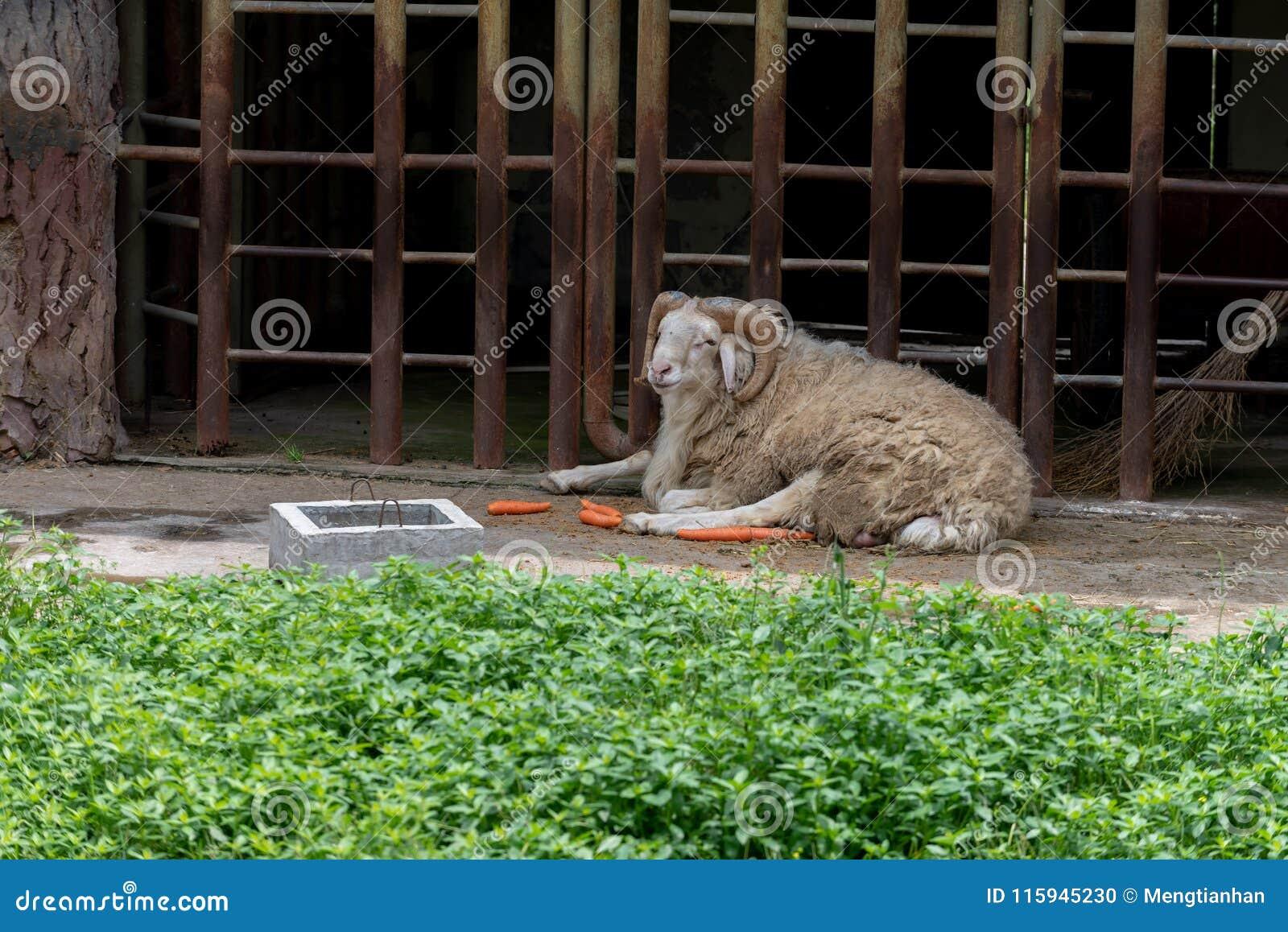 Ενήλικο πρόβατο-Ovis aries