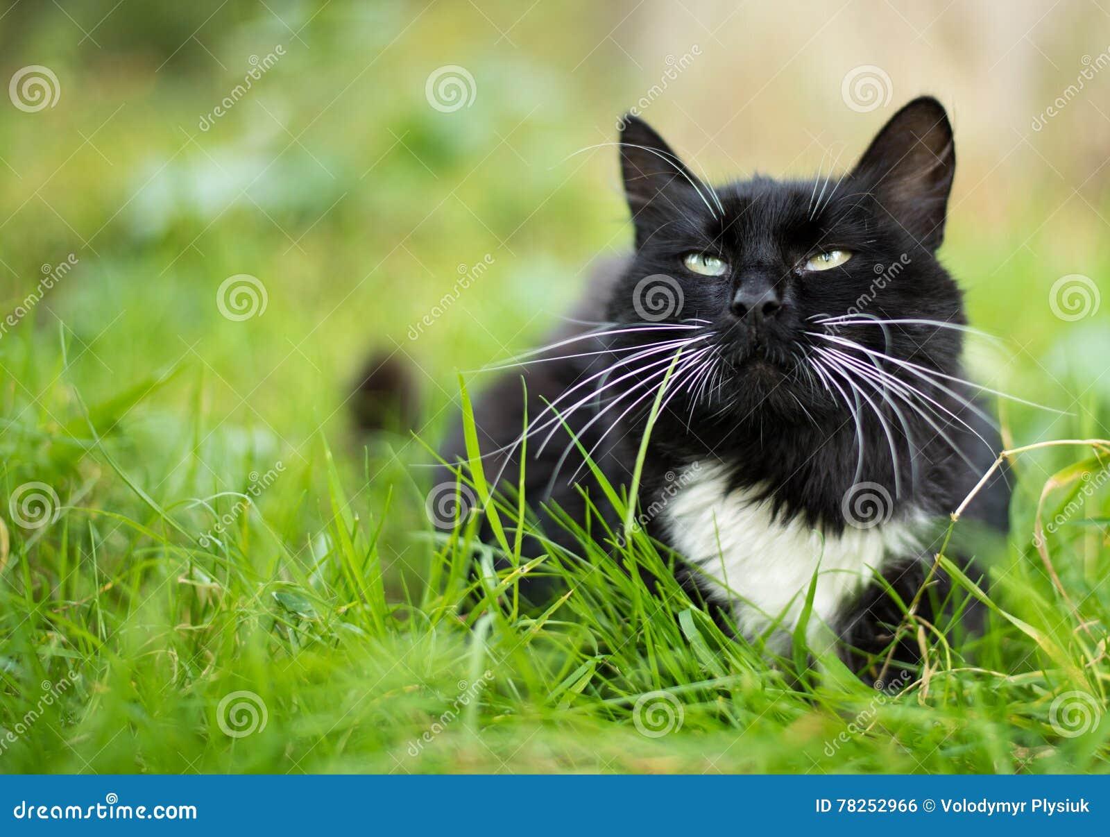 Ενήλικη γραπτή γάτα