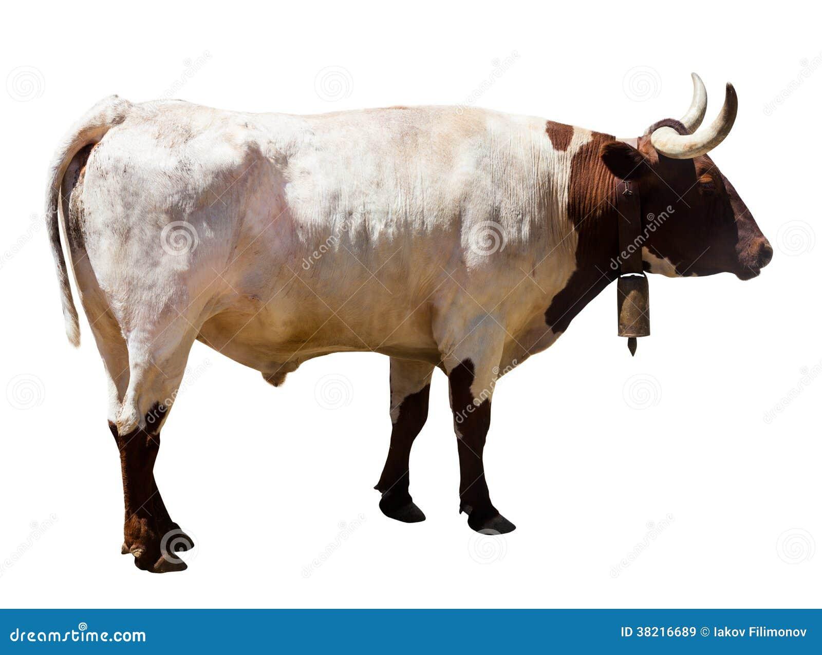 Ενήλικος άσπρος και καφετής ταύρος