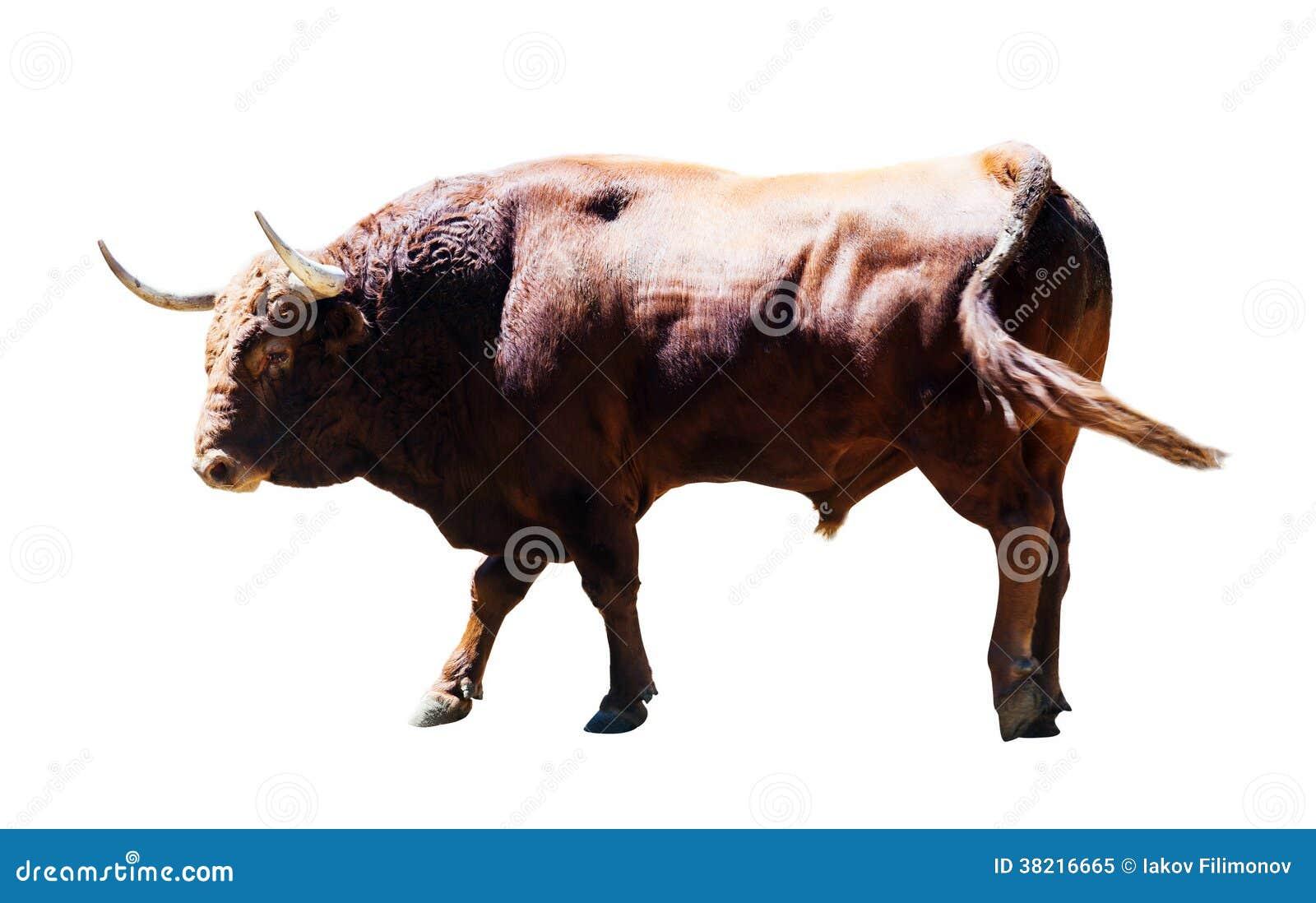 Ενήλικος καφετής ταύρος, που απομονώνεται πέρα από το λευκό