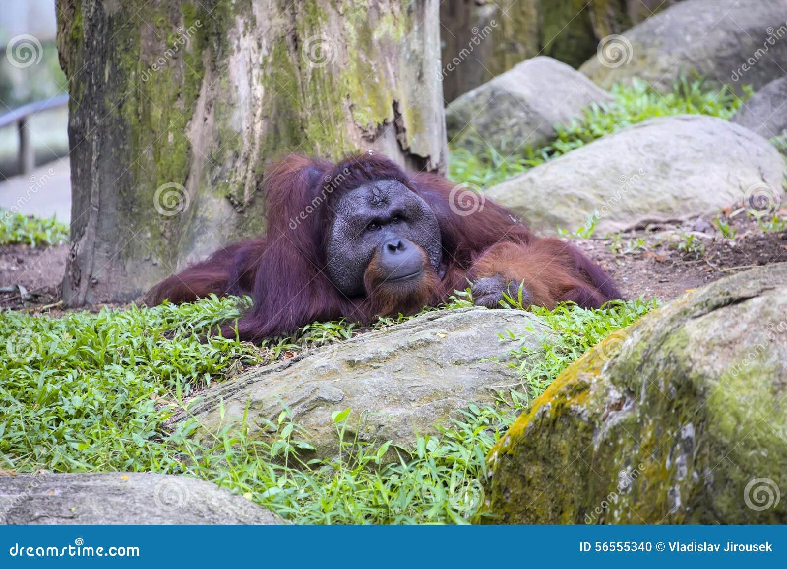 Download Ενήλικο αρσενικό Orangutan του Μπόρνεο του Pygmaeus Pongo Στοκ Εικόνες - εικόνα από ασία, μοιχαλίδα: 56555340