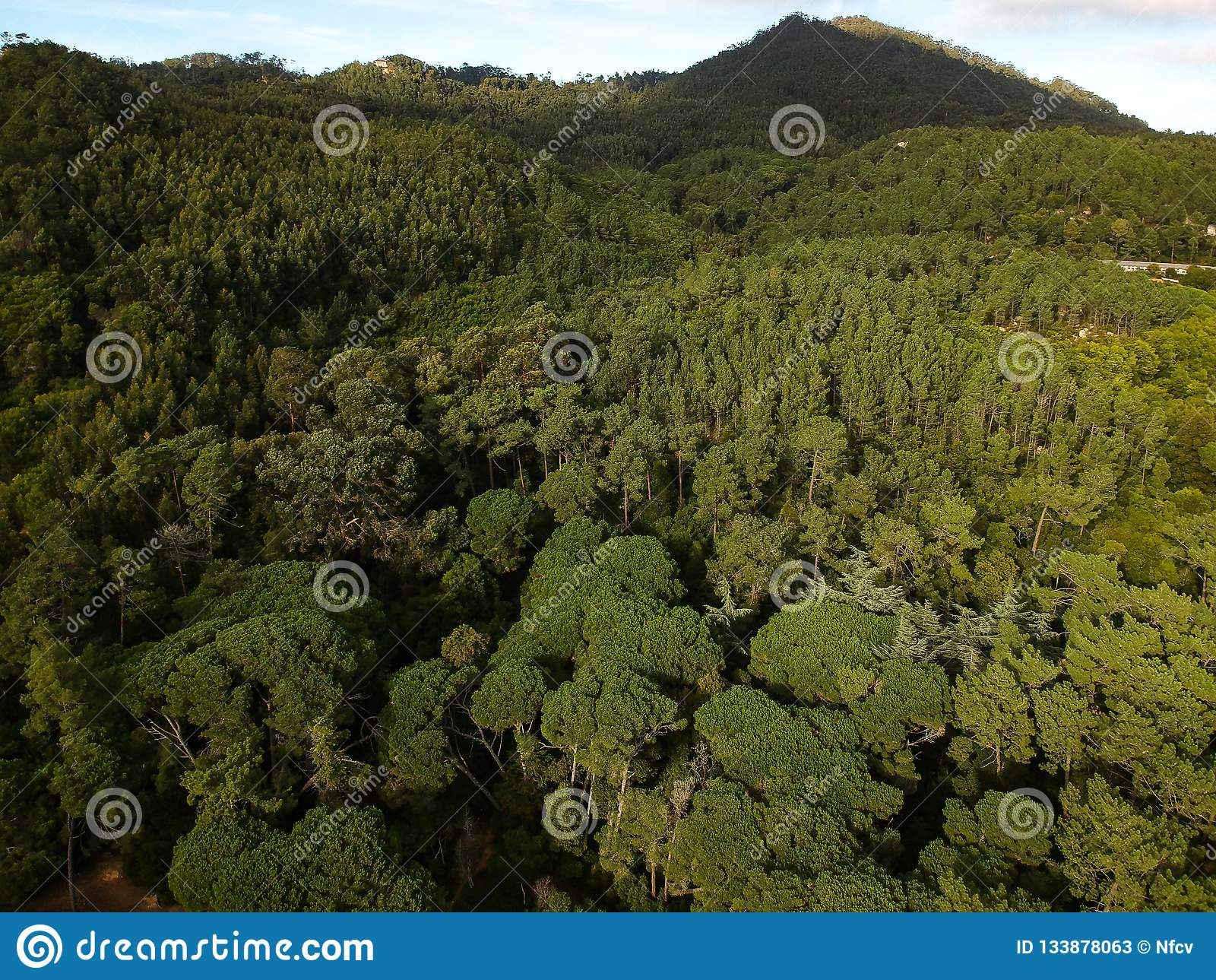 Εναέρια άποψη ενός δάσους πεύκων