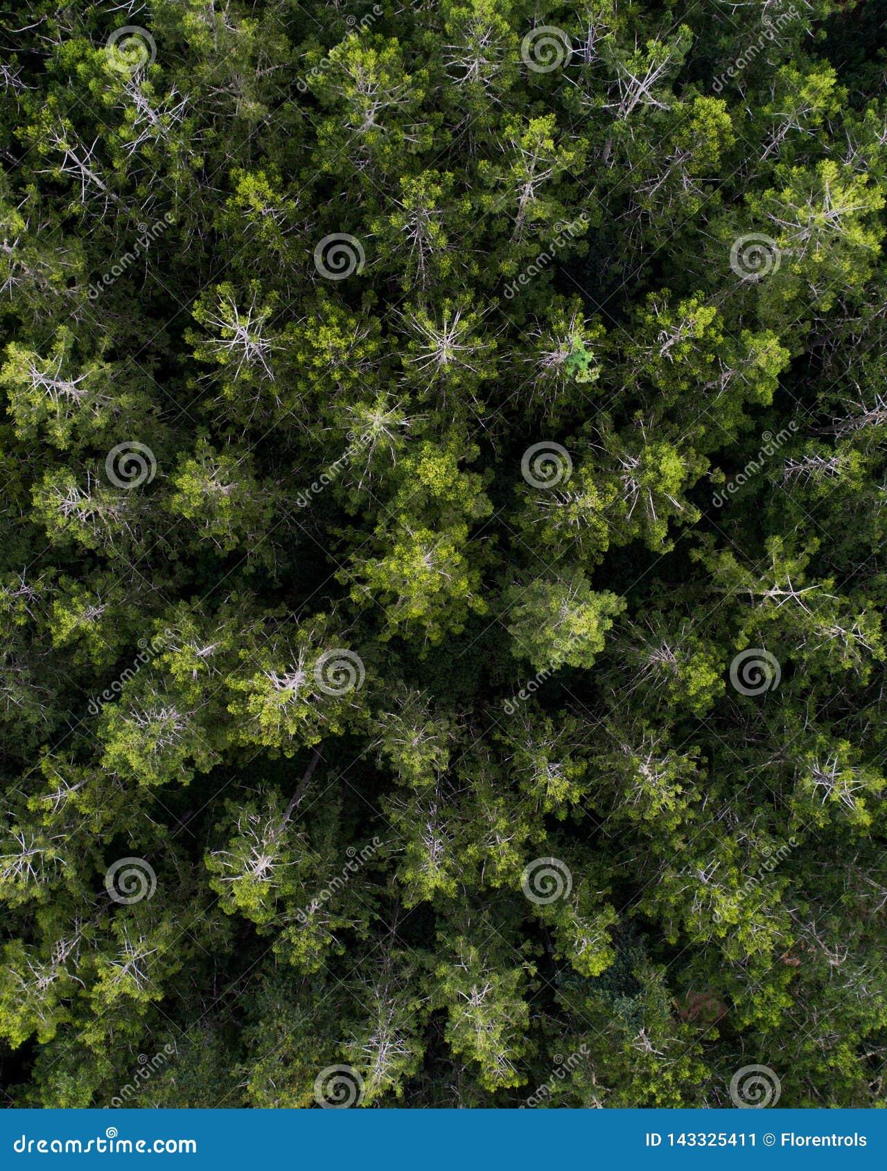Εναέρια άποψη πέρα από ένα δάσος δέντρων πεύκων
