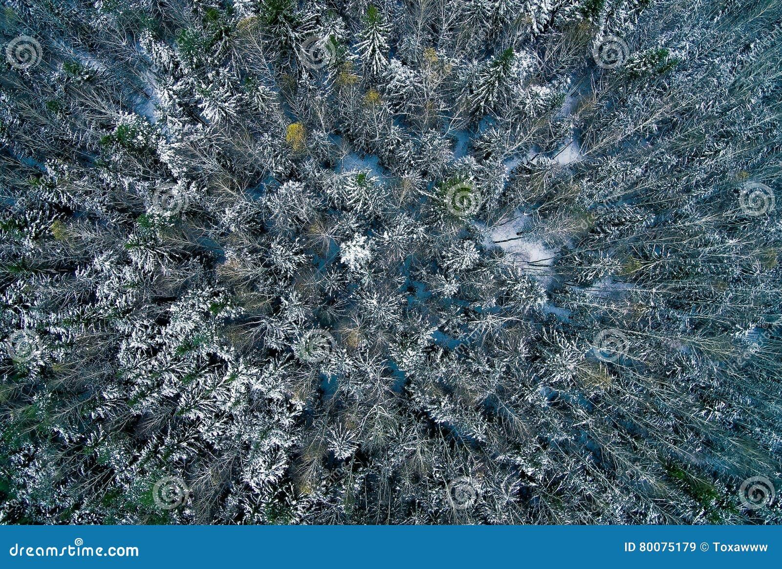 Εναέρια άποψη του δάσους πεύκων στο χειμώνα