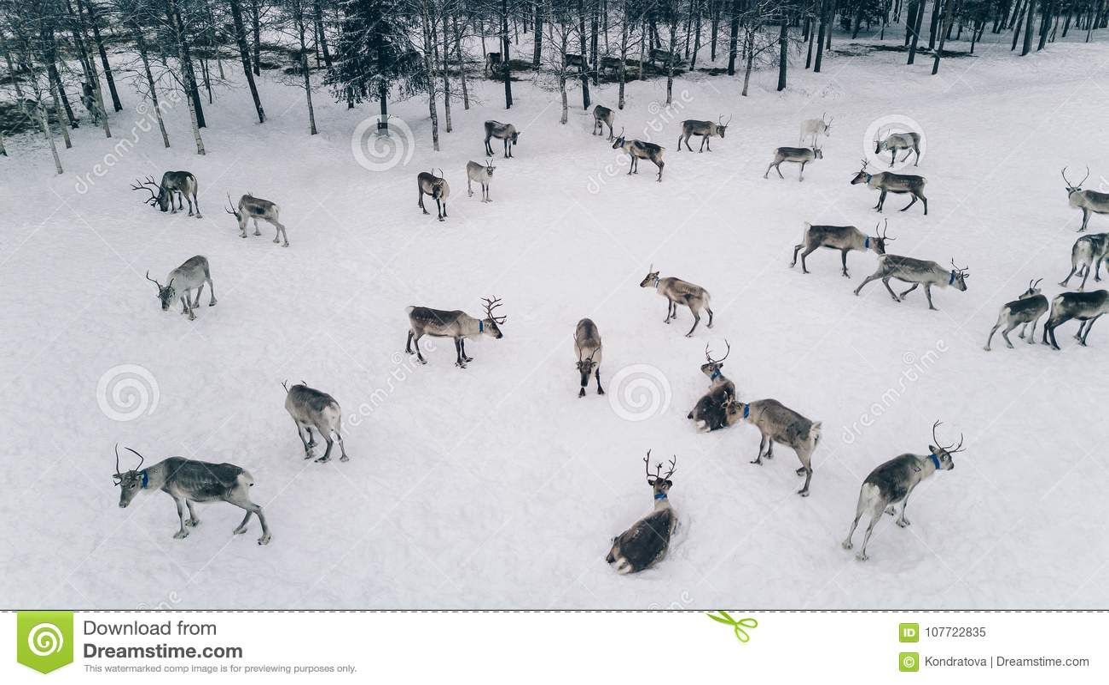 Εναέρια άποψη του κοπαδιού ταράνδων το χειμώνα Lapland Φινλανδία