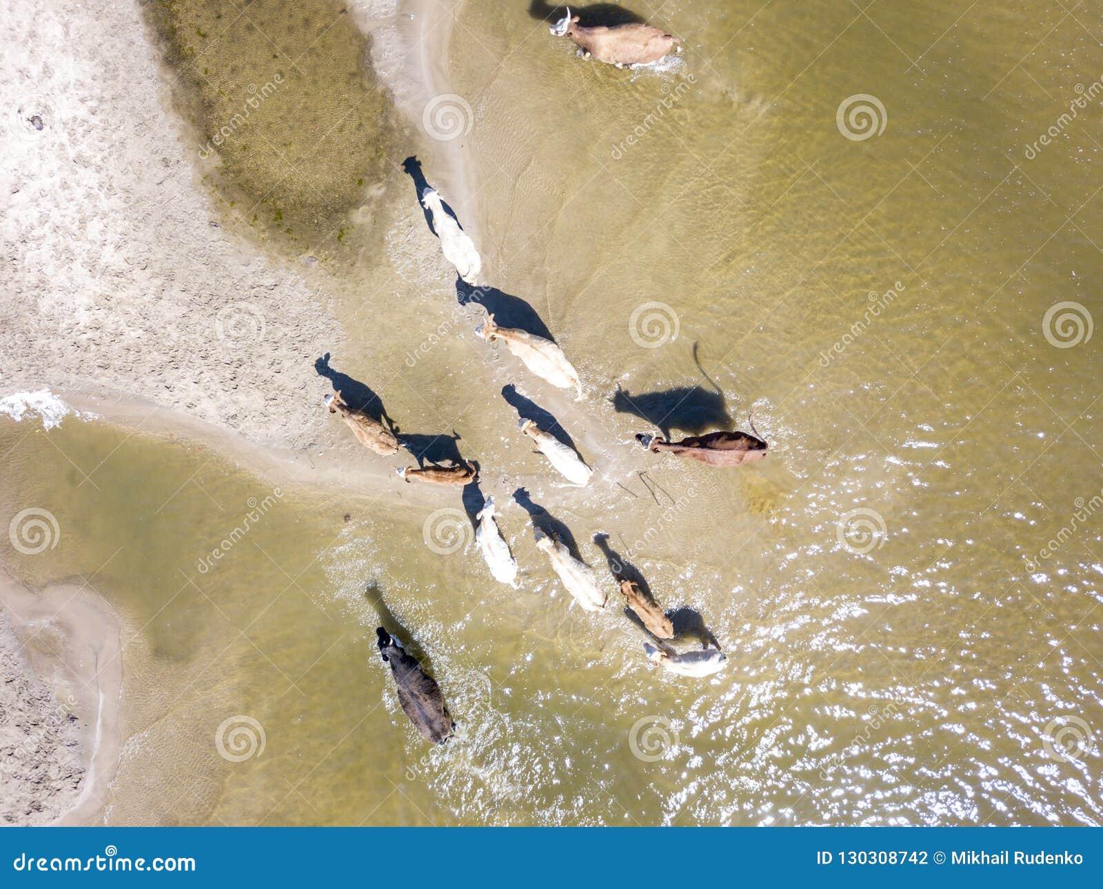 Εναέρια τοπ άποψη της δέσμης του περιπάτου κοπαδιών αγελάδων στην επαρχία κοντά στη λίμνη στην αμμώδη παραλία φ