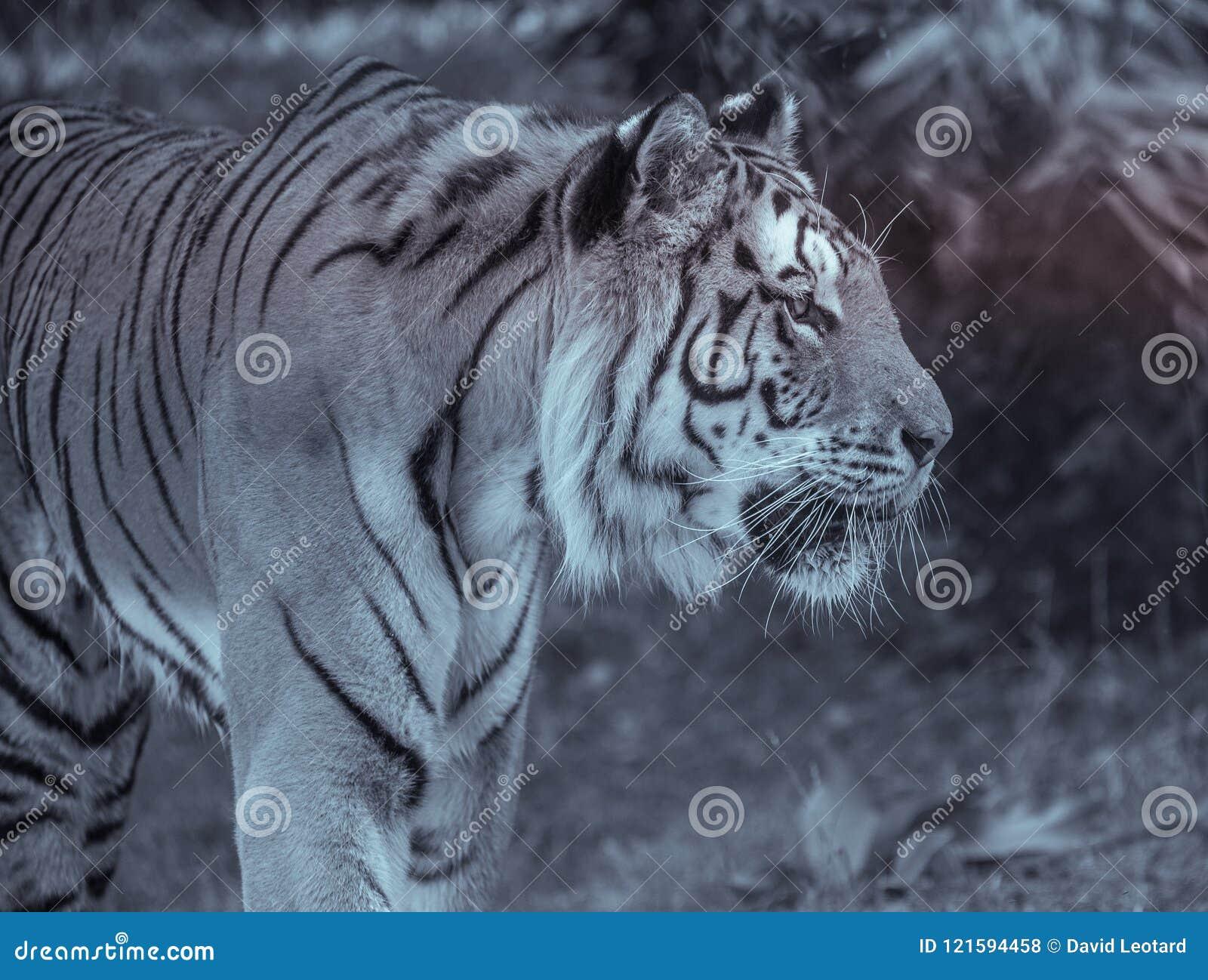 ενιαία ενήλικη τίγρη στο σχεδιάγραμμα στο ζωολογικό κήπο το καλοκαίρι που περπατά στη χλόη σε γραπτό