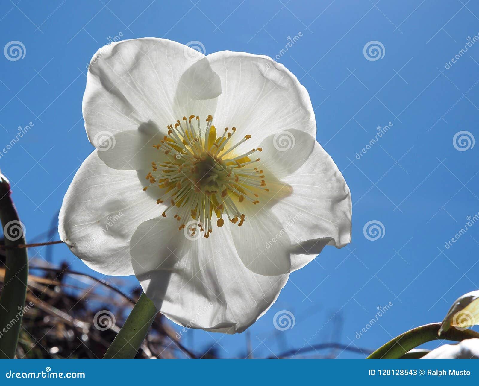 Ενιαία κινηματογράφηση σε πρώτο πλάνο λουλουδιών hellebore άσπρη