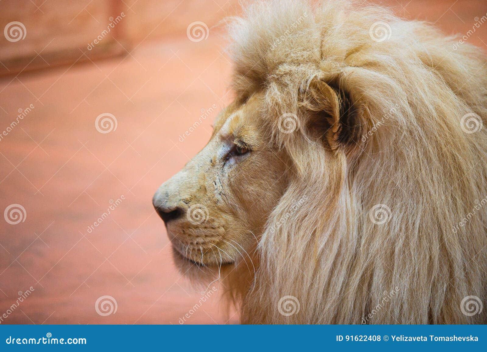Ενιαίο λιοντάρι που φαίνεται βασιλοπρεπής στάση υπερήφανα