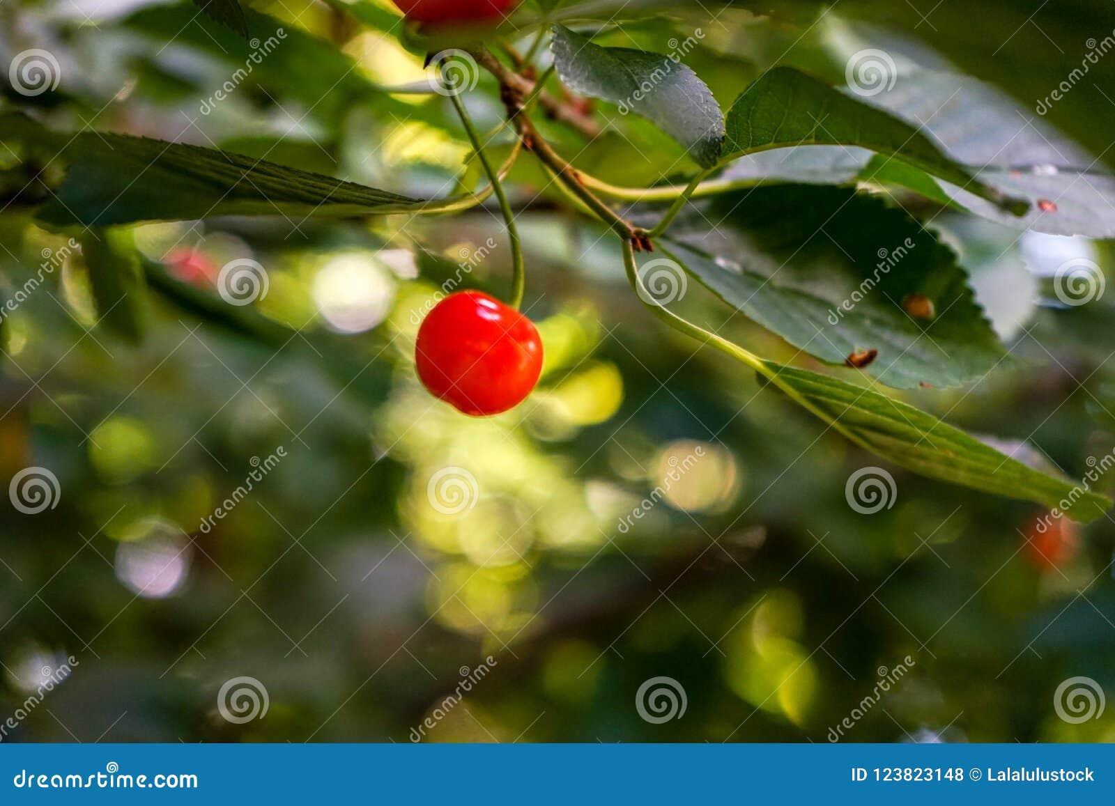 Ενιαίο κόκκινο κεράσι σε έναν κλάδο, δέντρο κερασιών