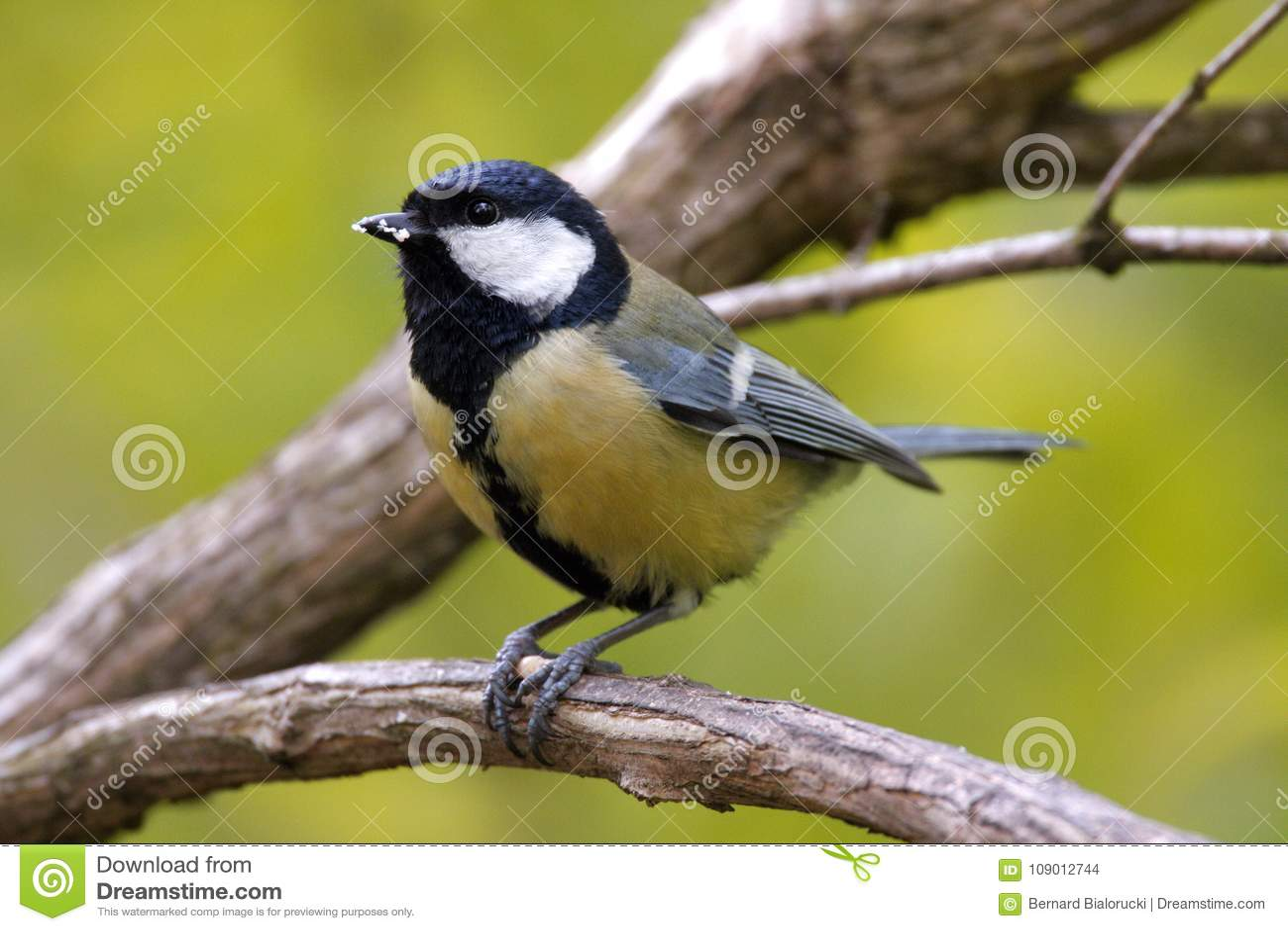 Μεγάλο πουλί blaxk