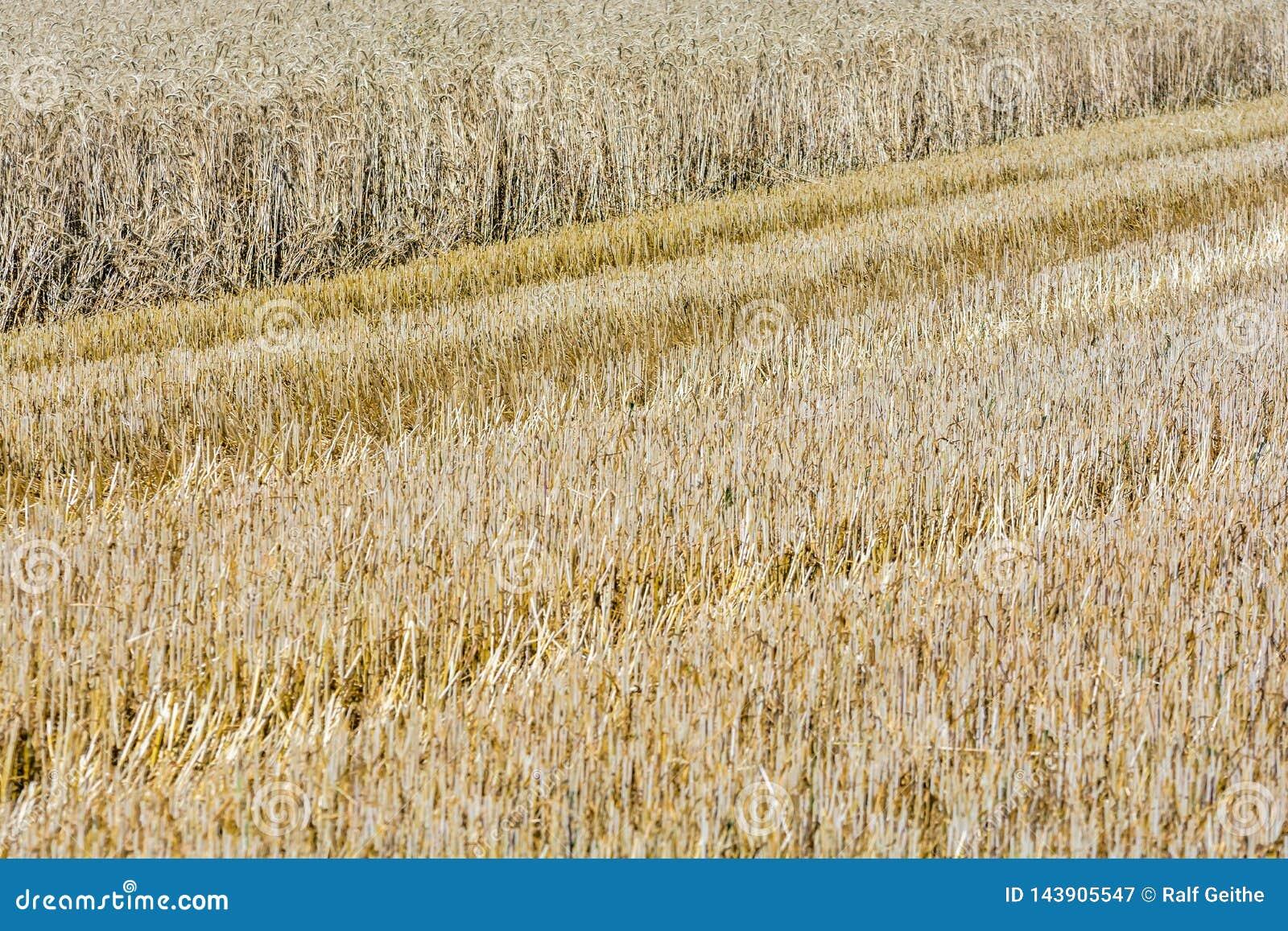 Εν μέρει συγκομισμένος τομέας δημητριακών