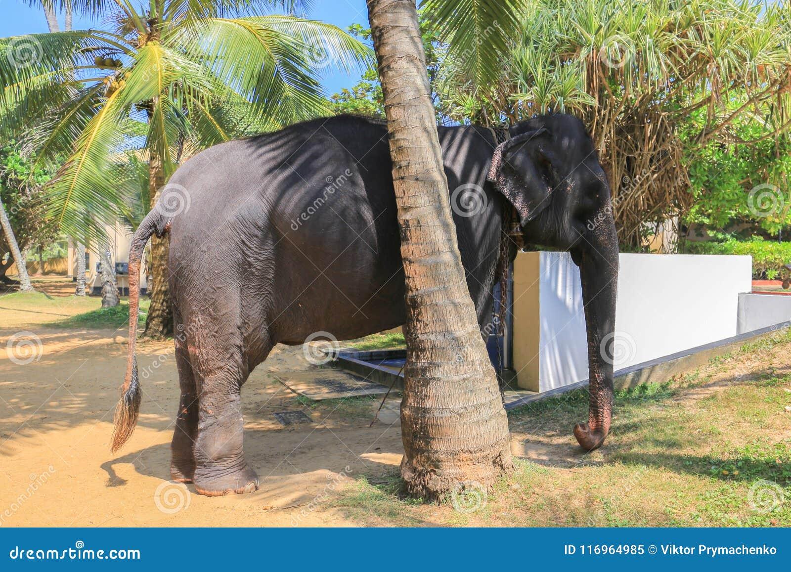 Εξημερωμένος ελέφαντας