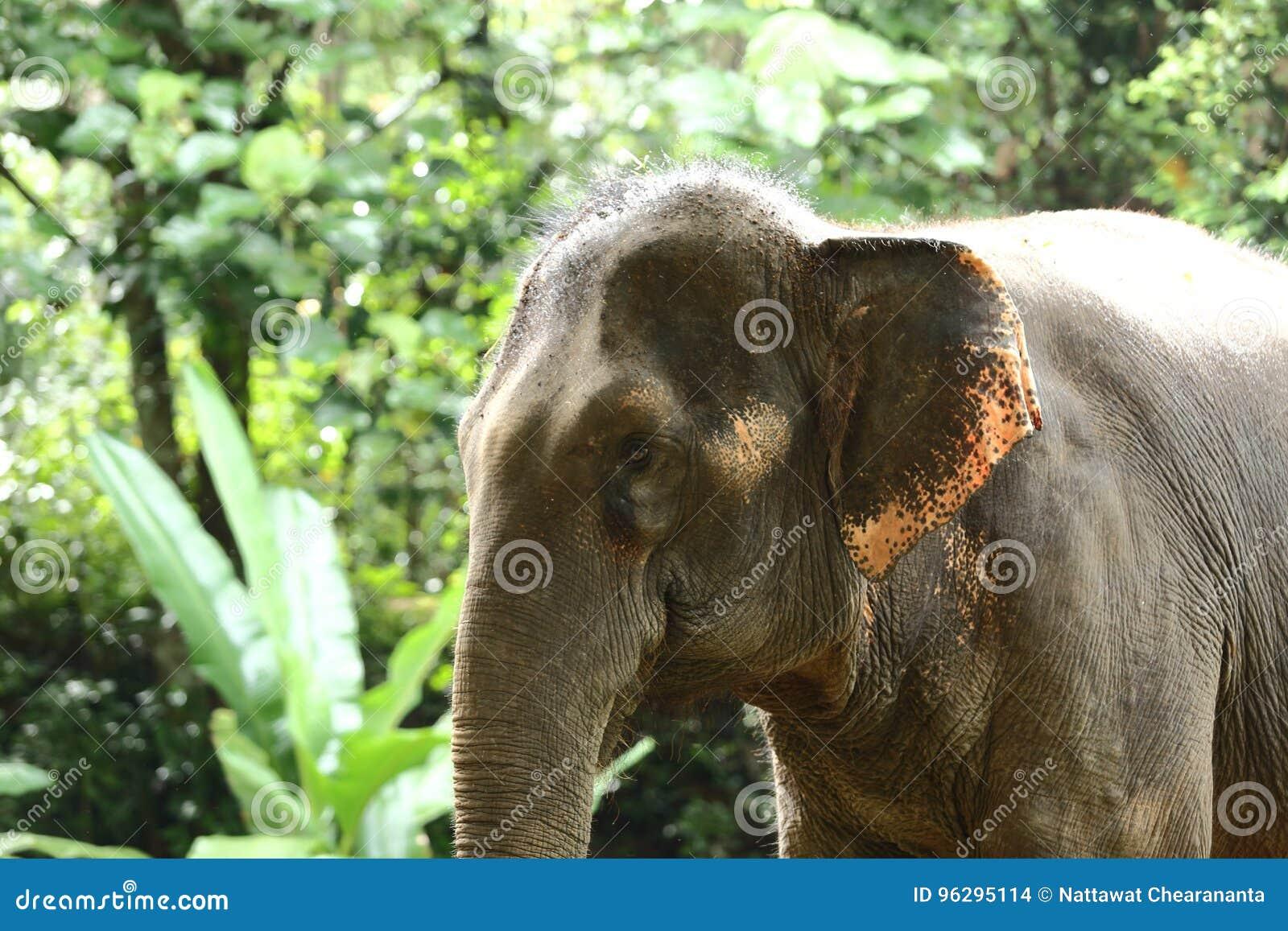 Εξημερωμένος ελέφαντας στο βαθύ δάσος ζουγκλών για τον τουρισμό