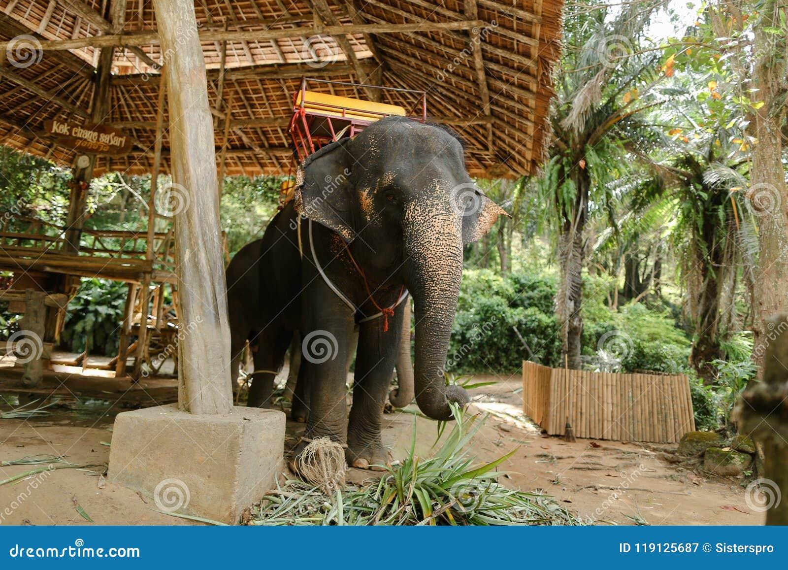 Εξημερωμένος μεγάλος ελέφαντας που στέκεται με την κίτρινη σέλα