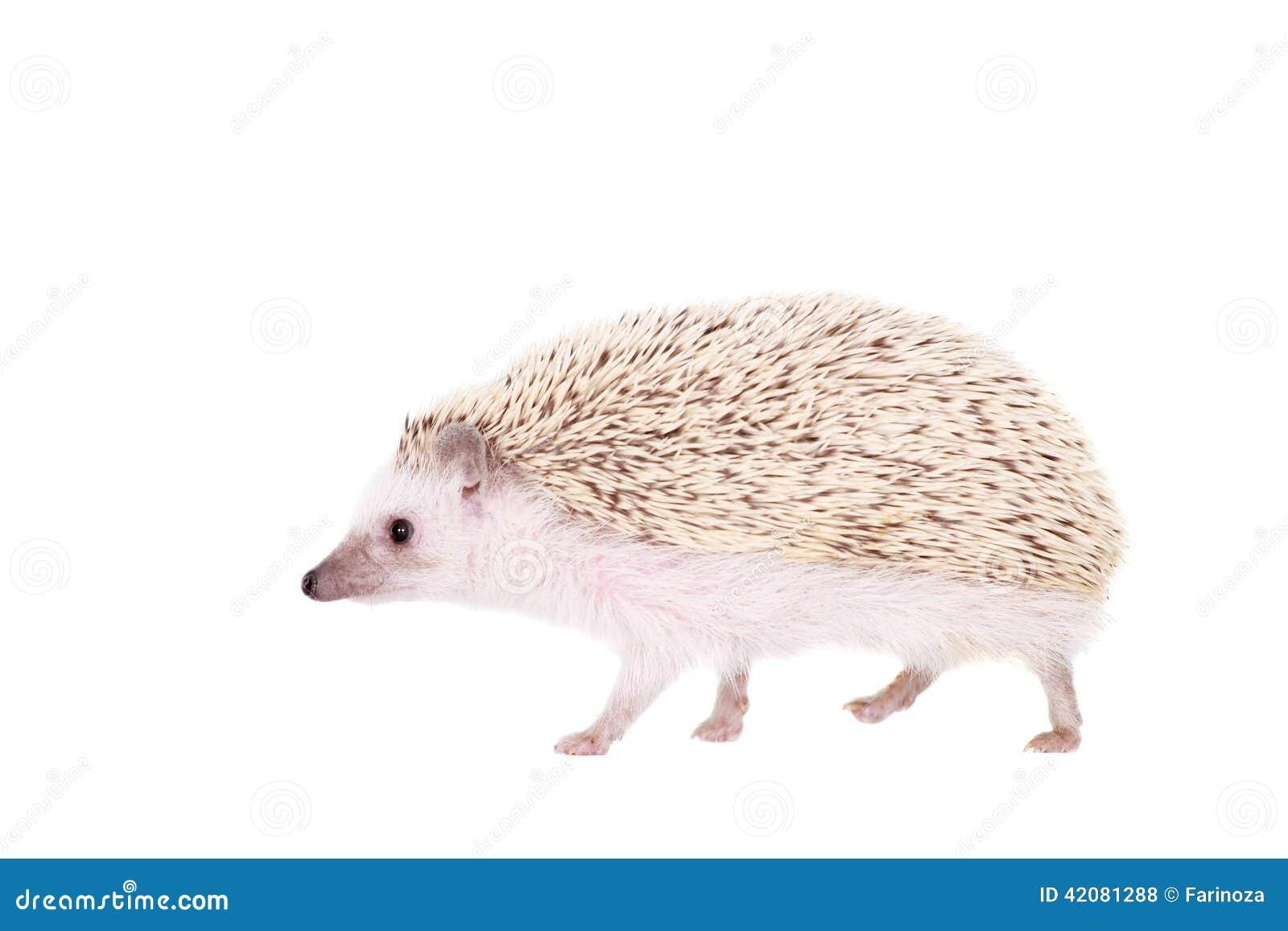 Εξημερωμένος σκαντζόχοιρος ή αφρικανικό pygmy