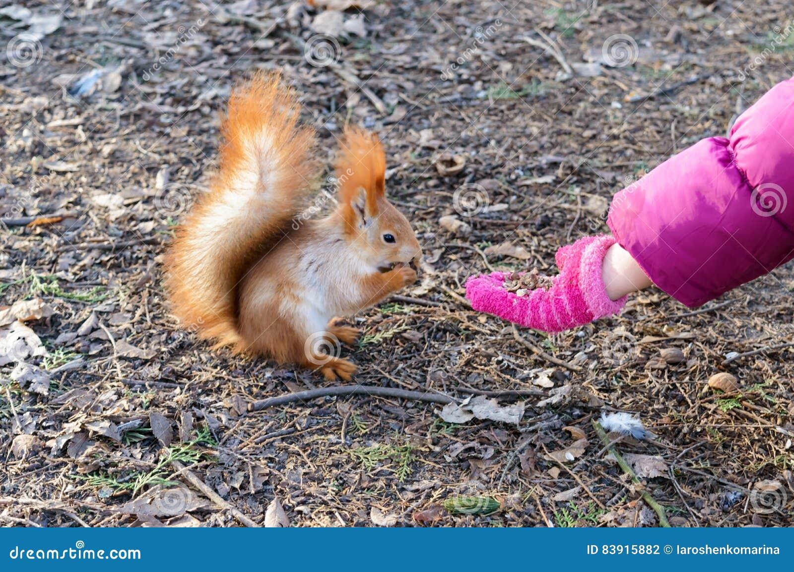 Εξημερωμένος, συνηθισμένος σκίουρος, πορτοκάλι μαλλιού Η ζωική συνεδρίαση στα ξηρά φύλλα και τρώει με το χέρι παιδιών ` s