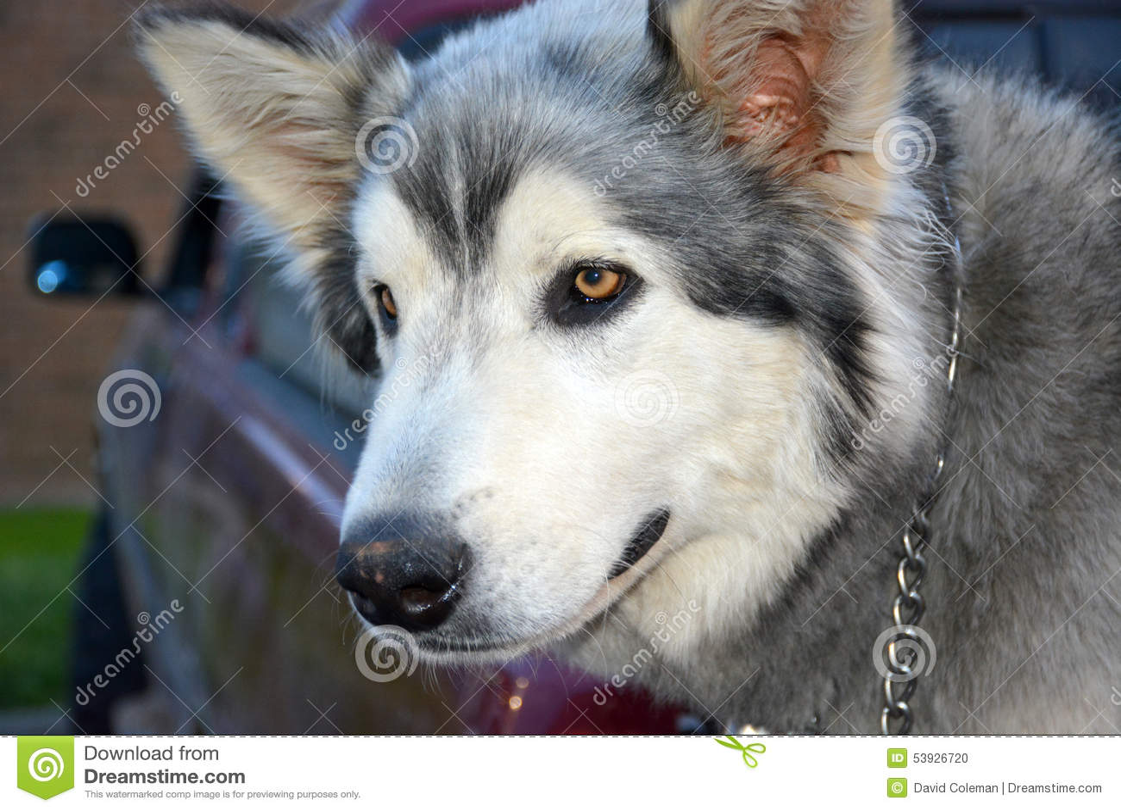 Εξημερωμένος λύκος