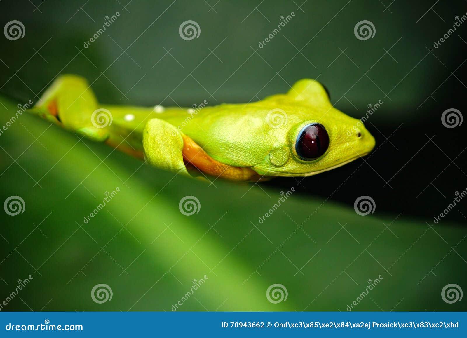 Εξωτικός ζωικός, πετώντας βάτραχος φύλλων, spurrelli Agalychnis, πράσινη συνεδρίαση βατράχων στα φύλλα, βάτραχος δέντρων στο βιότ