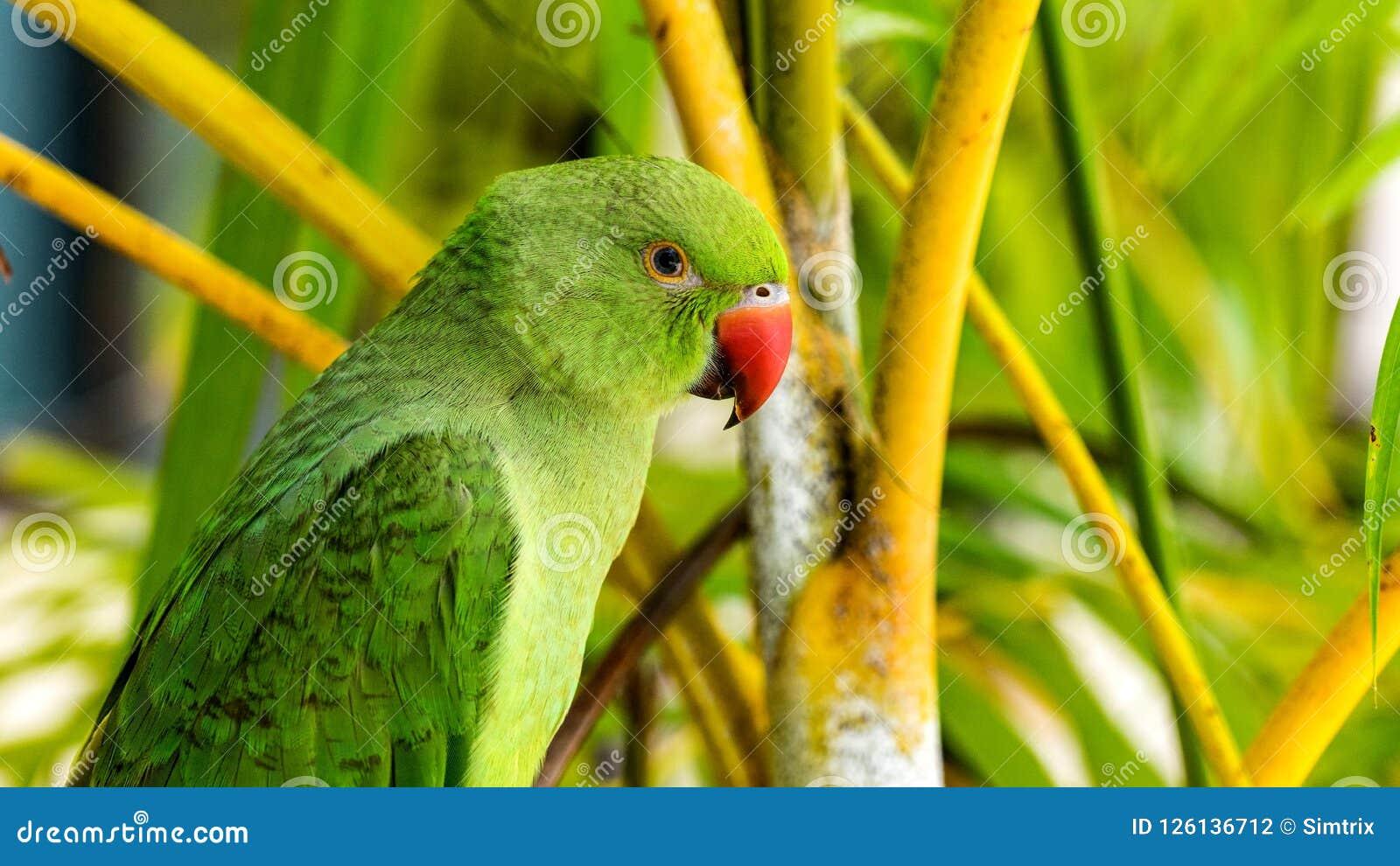 Εξωτικός παπαγάλος στις τροπικές δασικές Μαλδίβες άγριο δάσος τραγουδιού φύσης αγάπης αγριόγαλλων