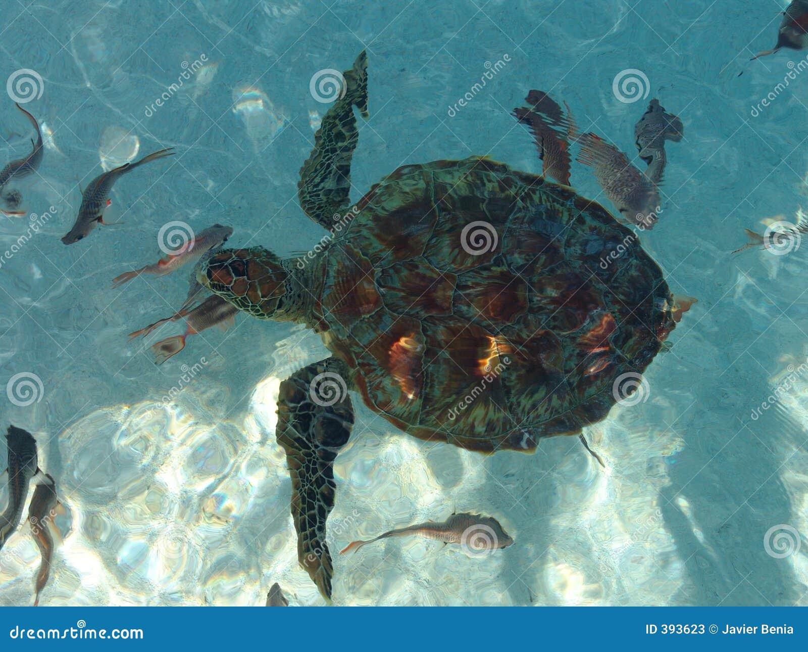 επάνω από την πολυνησιακή χελώνα