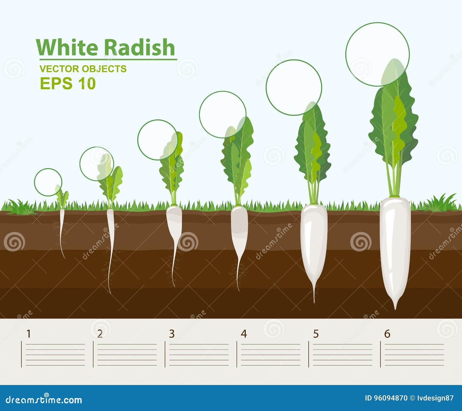 επίσης corel σύρετε το διάνυσμα απεικόνισης Φάσεις αύξησης ενός άσπρου ραδικιού στον κήπο Αύξηση, εξέλιξη και παραγωγικότητα του