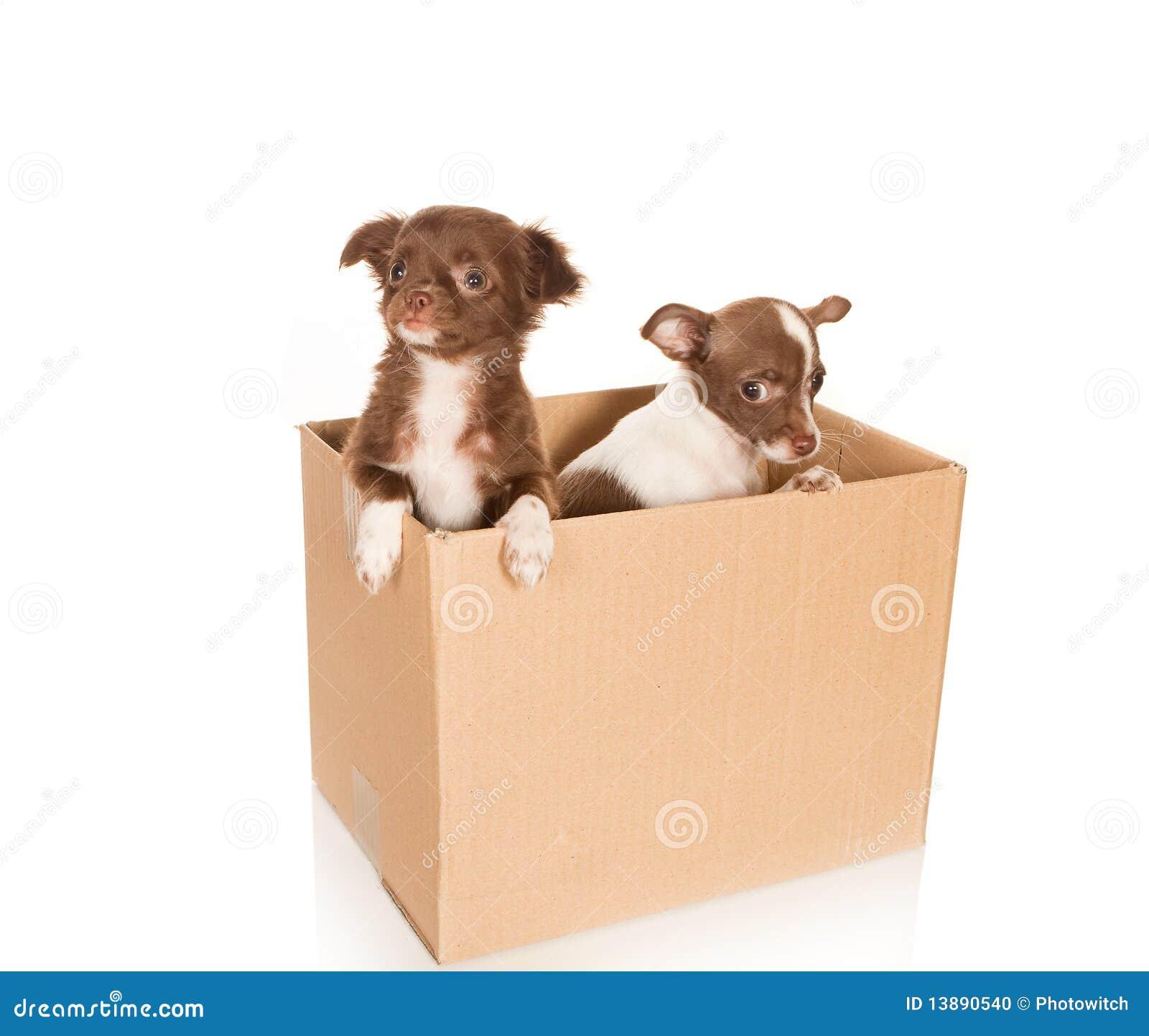 επαναμετάθεση σκυλιών