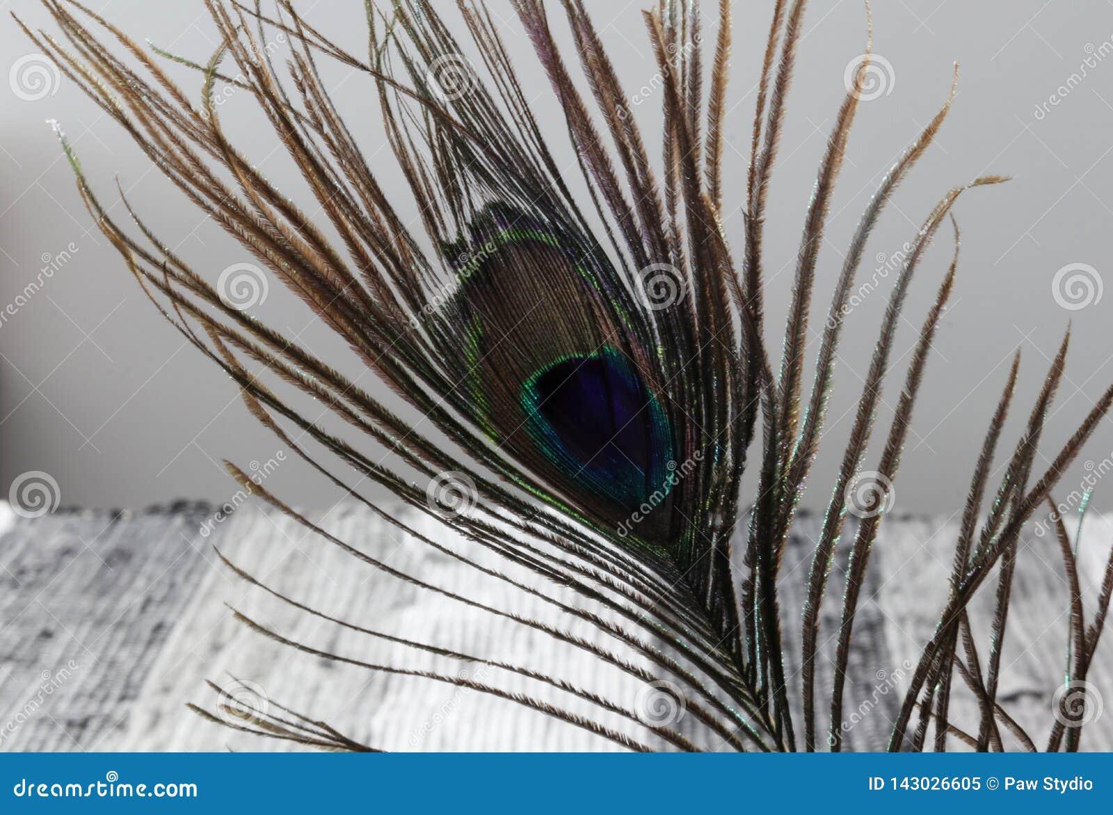 επενδύει με φτερά peacock ρηχό λευκό πεδίων φτερών βάθους ανασκόπησης μαύρο Ζωηρόχρωμα φτερά peacock σύσταση φτερών
