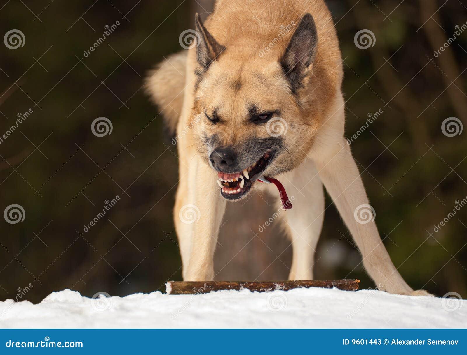 επιθετικό σκυλί