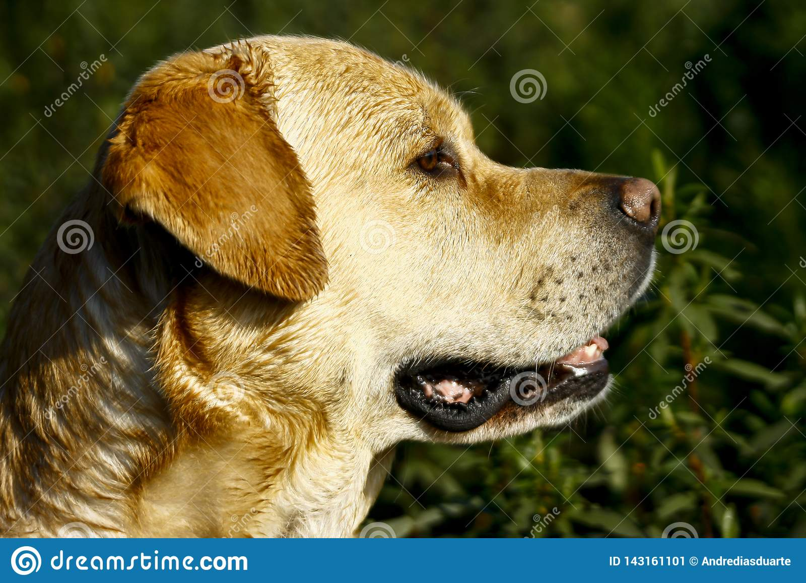 Επικεφαλής αντιμετώπιση σκυλιών του Λαμπραντόρ λοξά