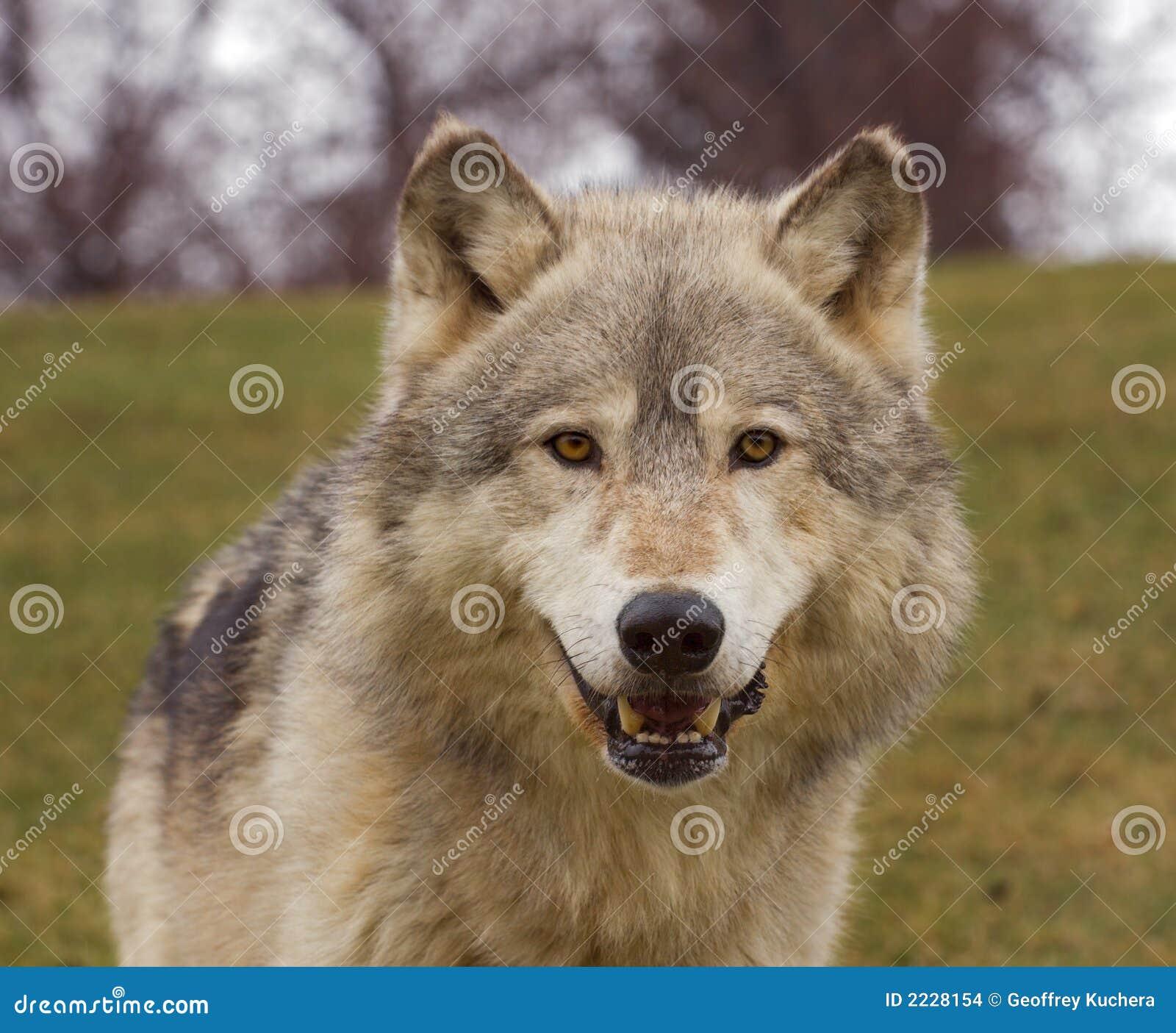 επικεφαλής λύκος ξυλεί