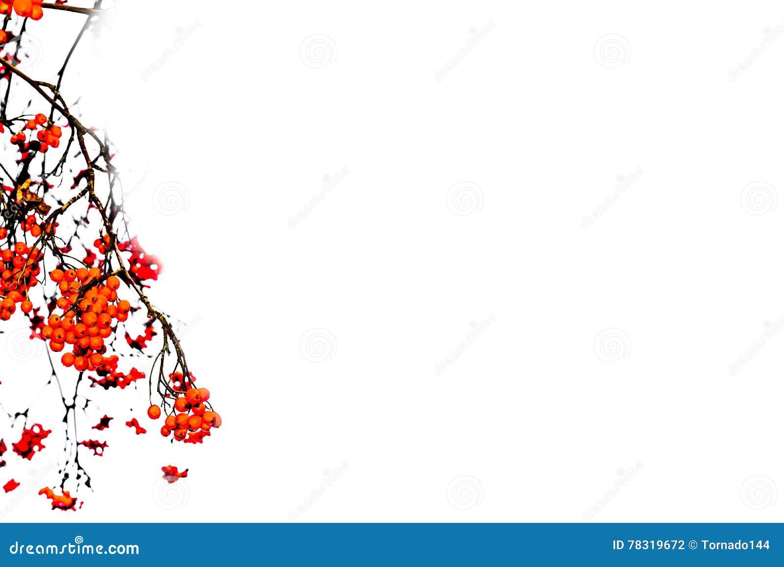 Επικεφαλίδα με τα κόκκινα μούρα σορβιών