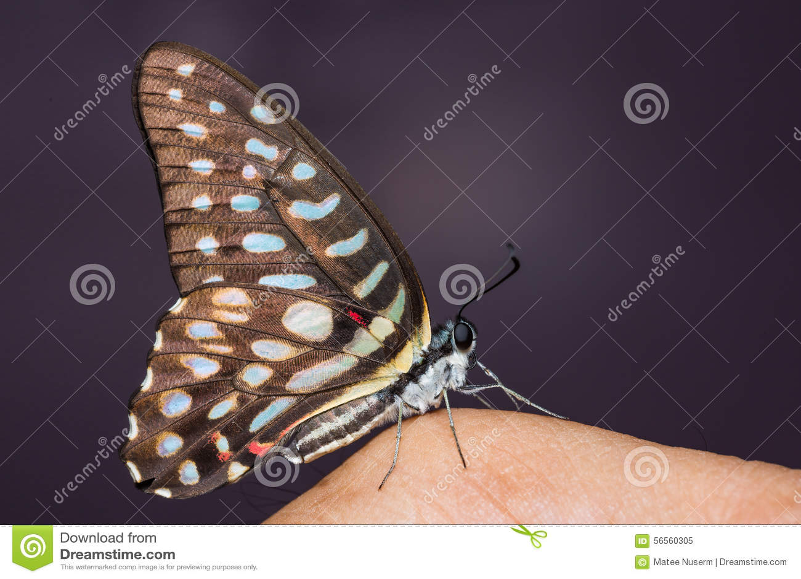 Download Επισημασμένη πεταλούδα του Jay Στοκ Εικόνα - εικόνα από φύση, bugatti: 56560305
