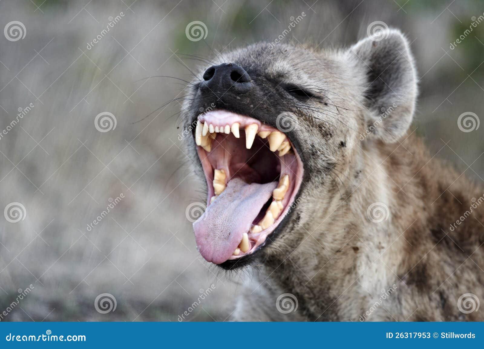 Επισημασμένο hyena (crocuta crocuta)