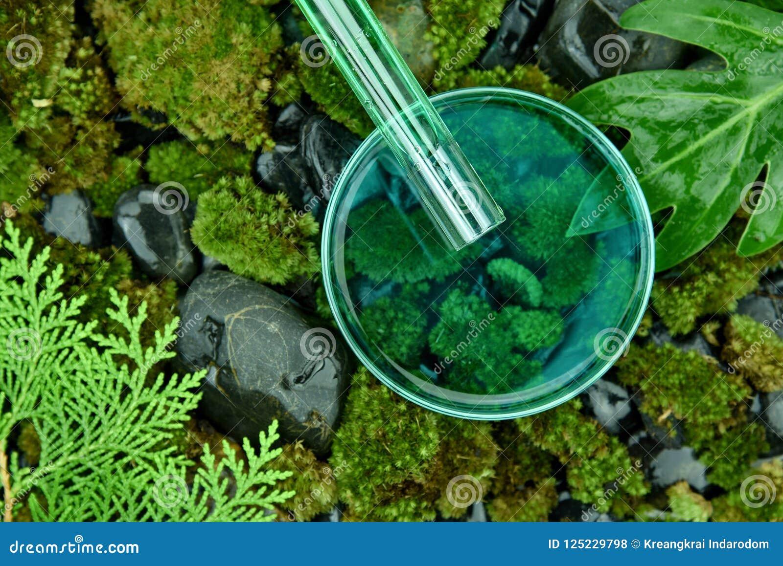 Επιστήμονας που χύνει τις οργανικές ουσίες ουσίας μέσα στο petri πιάτο, τα καλλυντικά και skincare τη διατύπωση από τις καθαρές φ